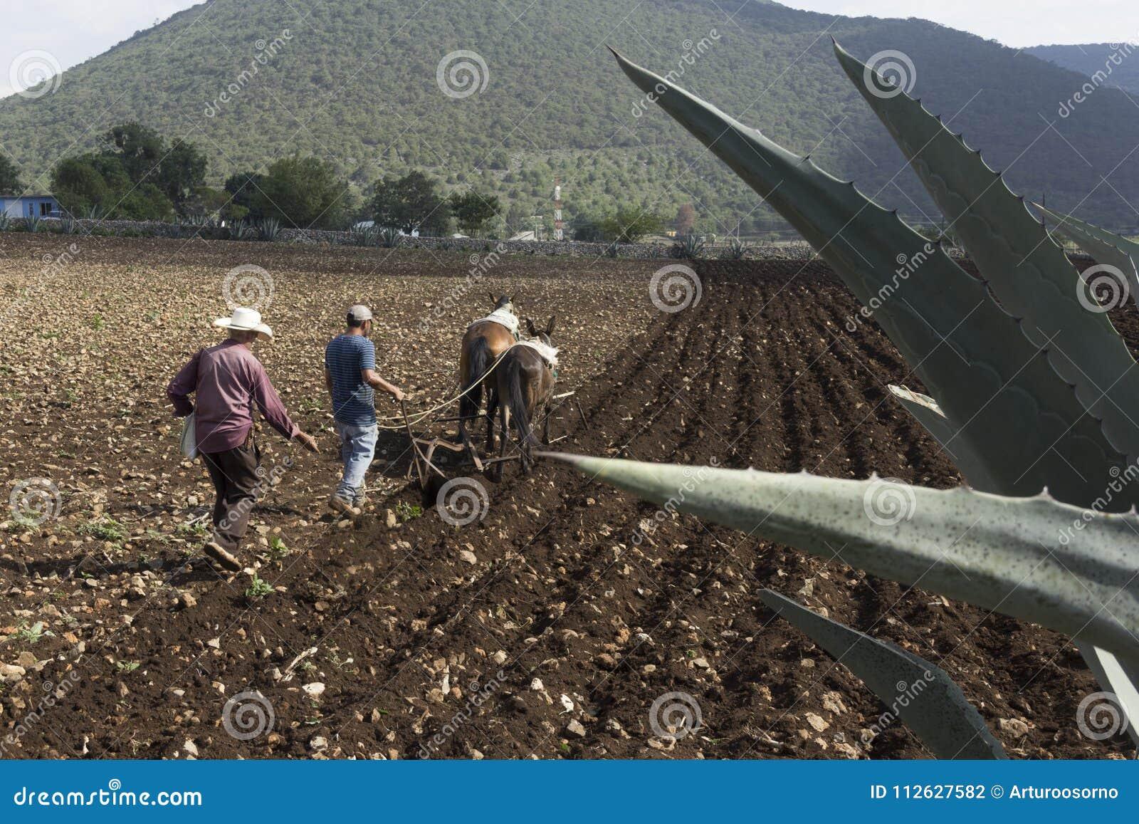 Mexicansk bondeväxt för skörd