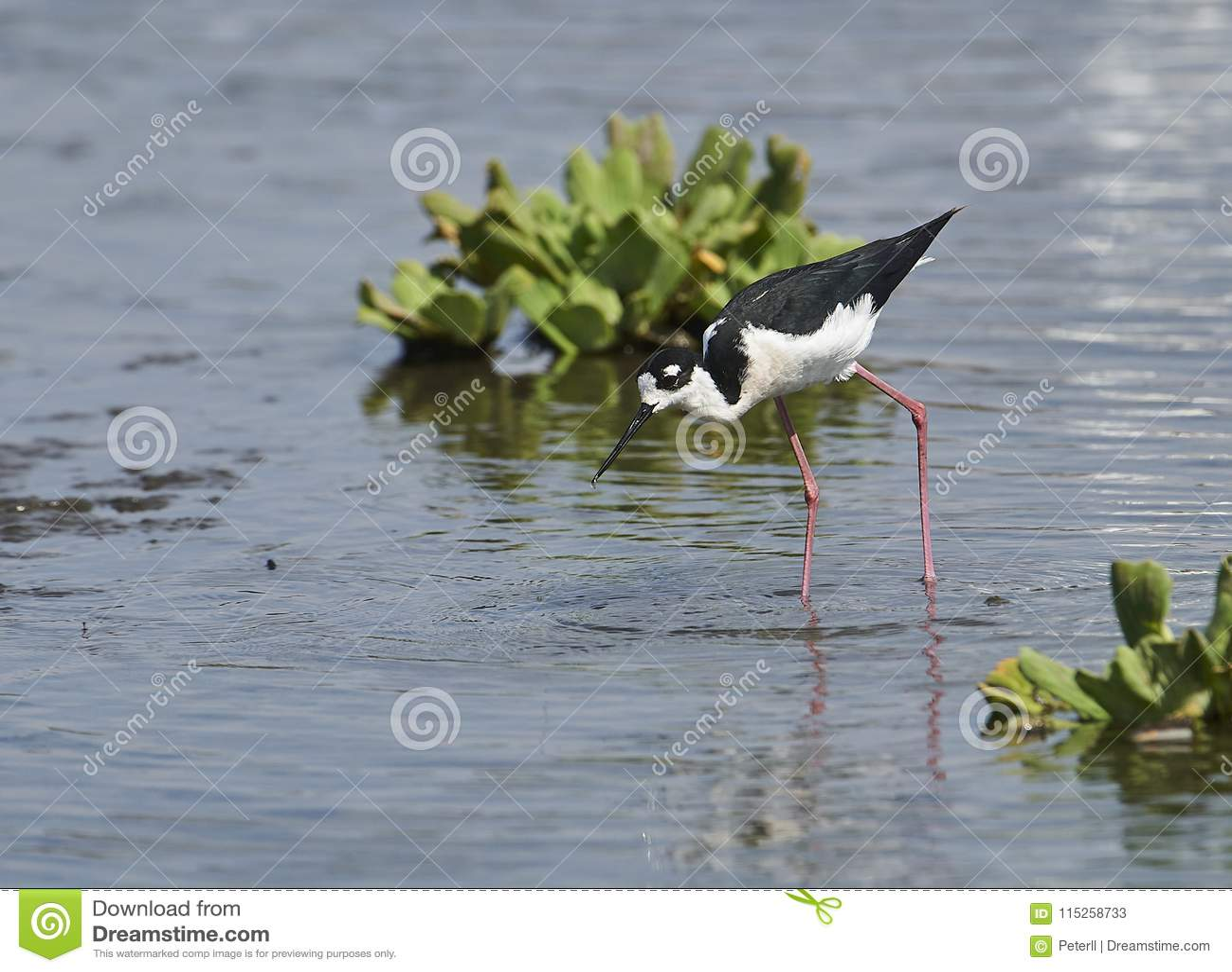 Mexicanus Negro-necked del Himantopus del zanco que forrajea en el borde del lago Chapala