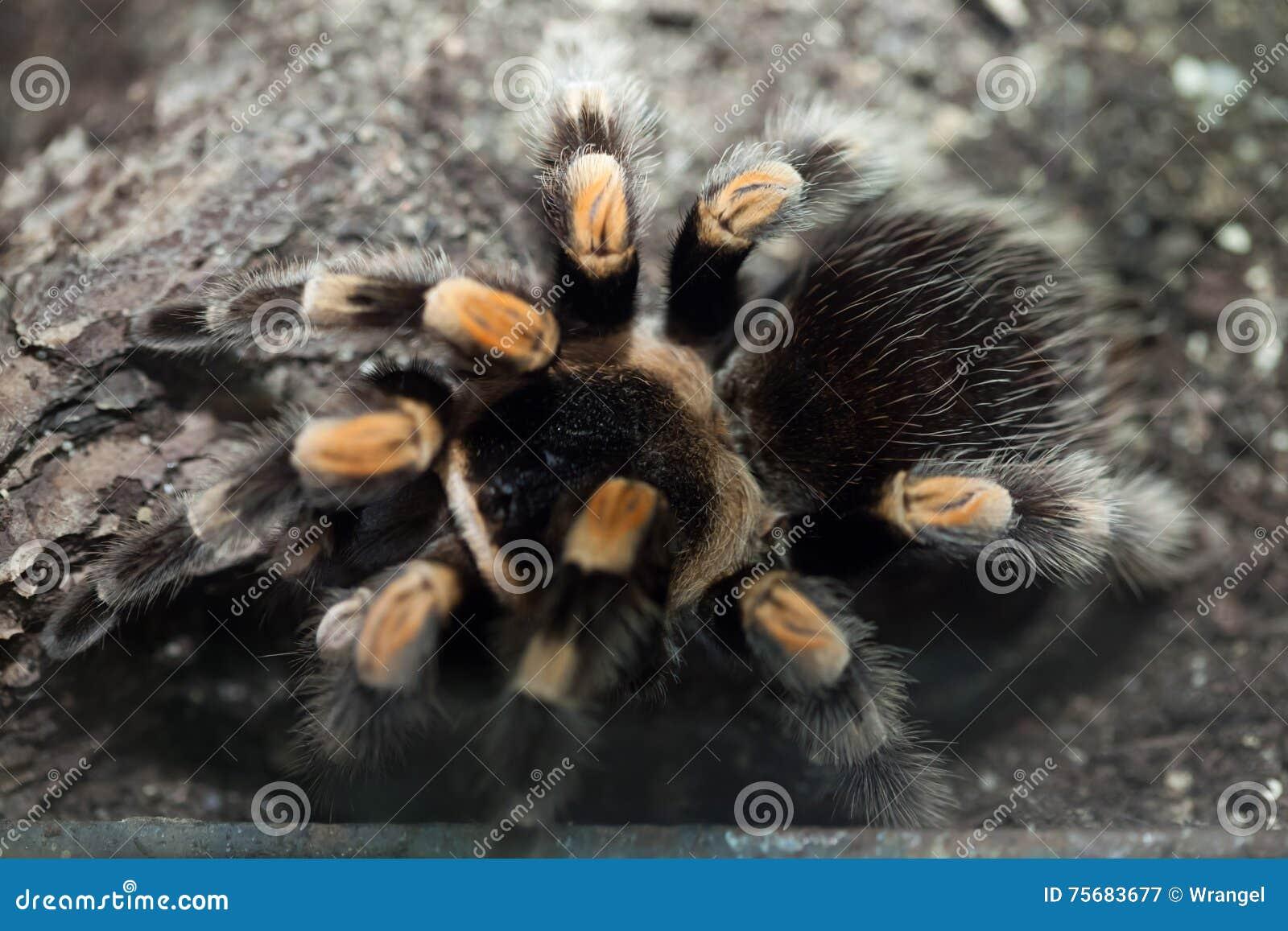 Mexikanischer Redknee Tarantula (Brachypelma smithi)