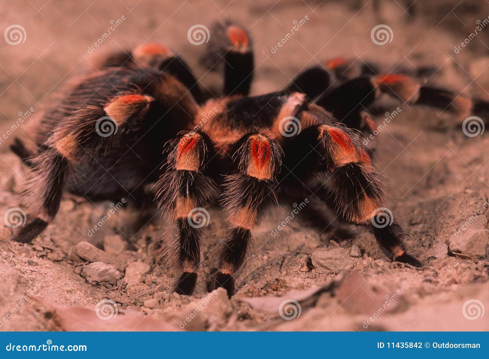 Mexikanischer roter Fahrwerkbein Tarantula