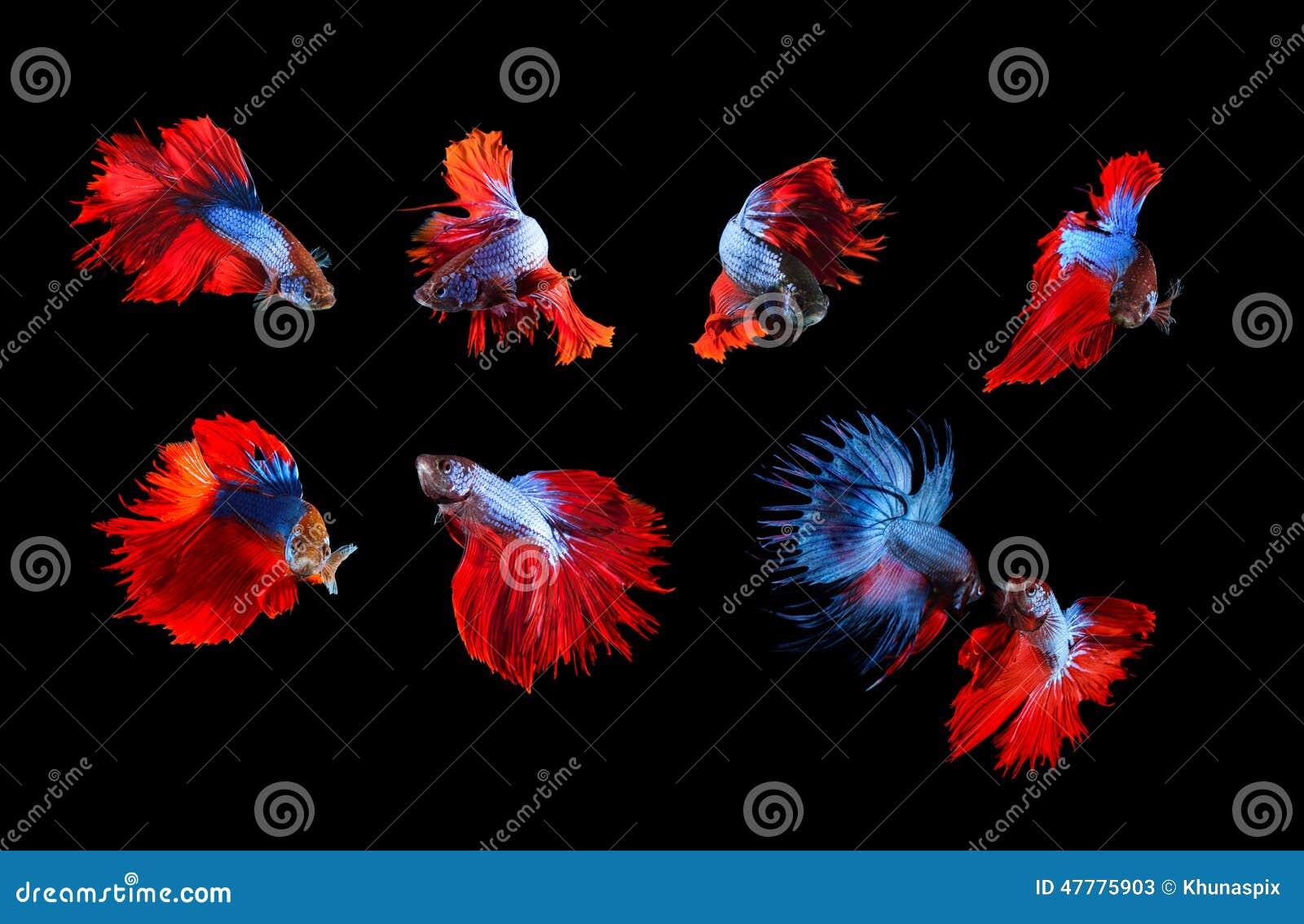 Mezclado de unde completo siamés azul y rojo del cuerpo del betta de los pescados que lucha