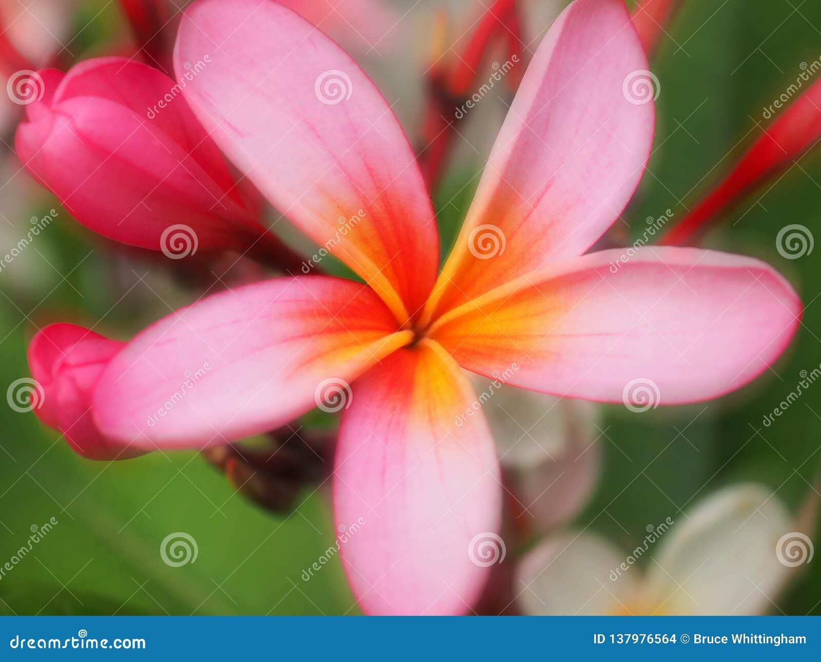 Miękki ostrość menchii Frangipani kwiat