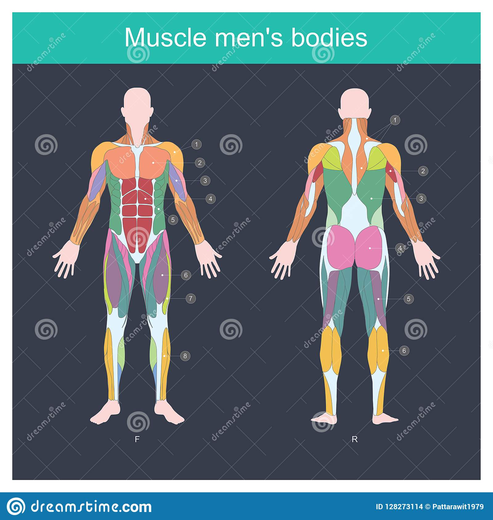 Mięśni mężczyzna bodies