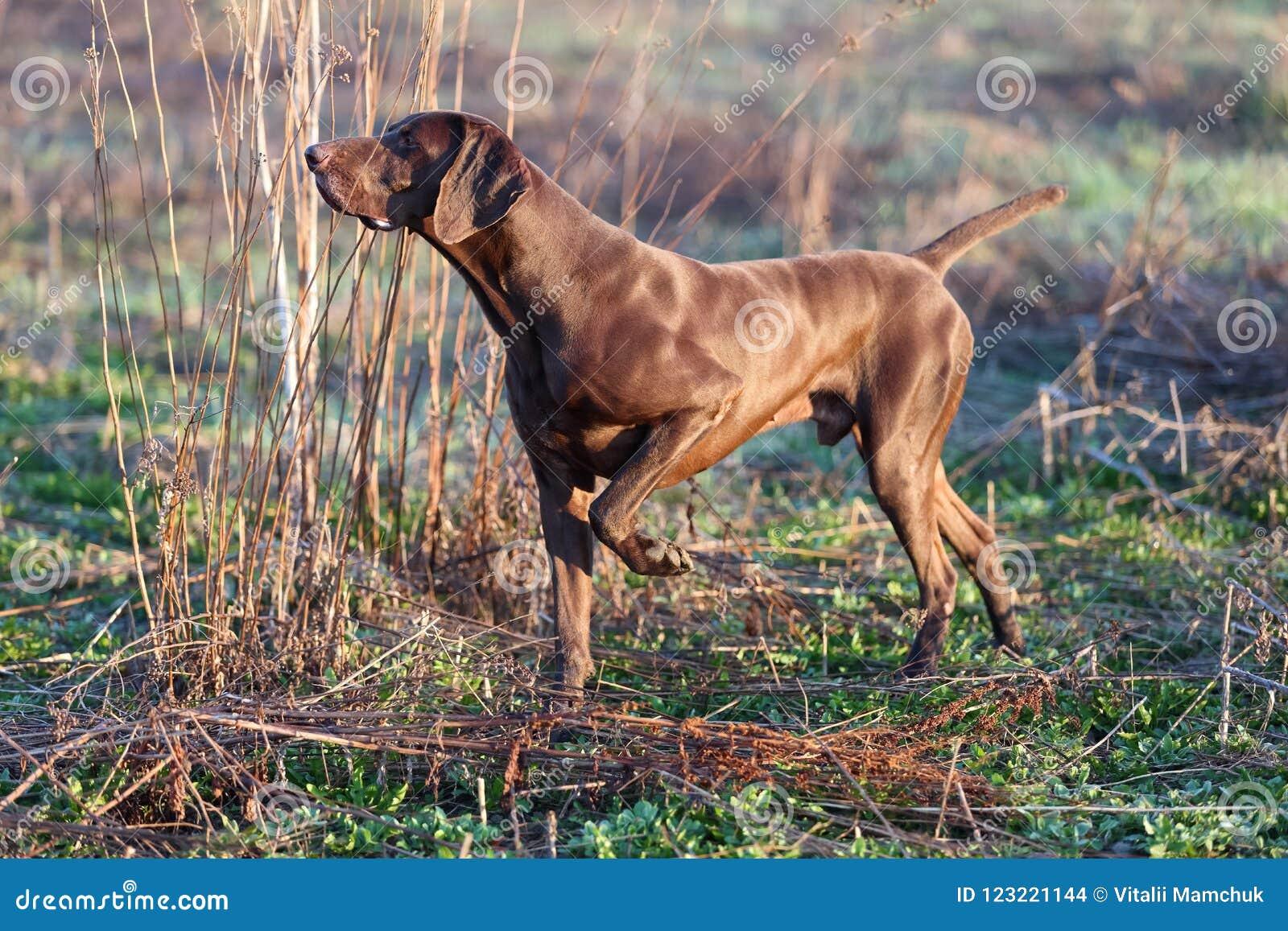 Mięśniowa czekolada - brown ogar, Niemiecki Shorthaired pointer, thoroughbred, stojaki wśród poly w trawie w punkcie