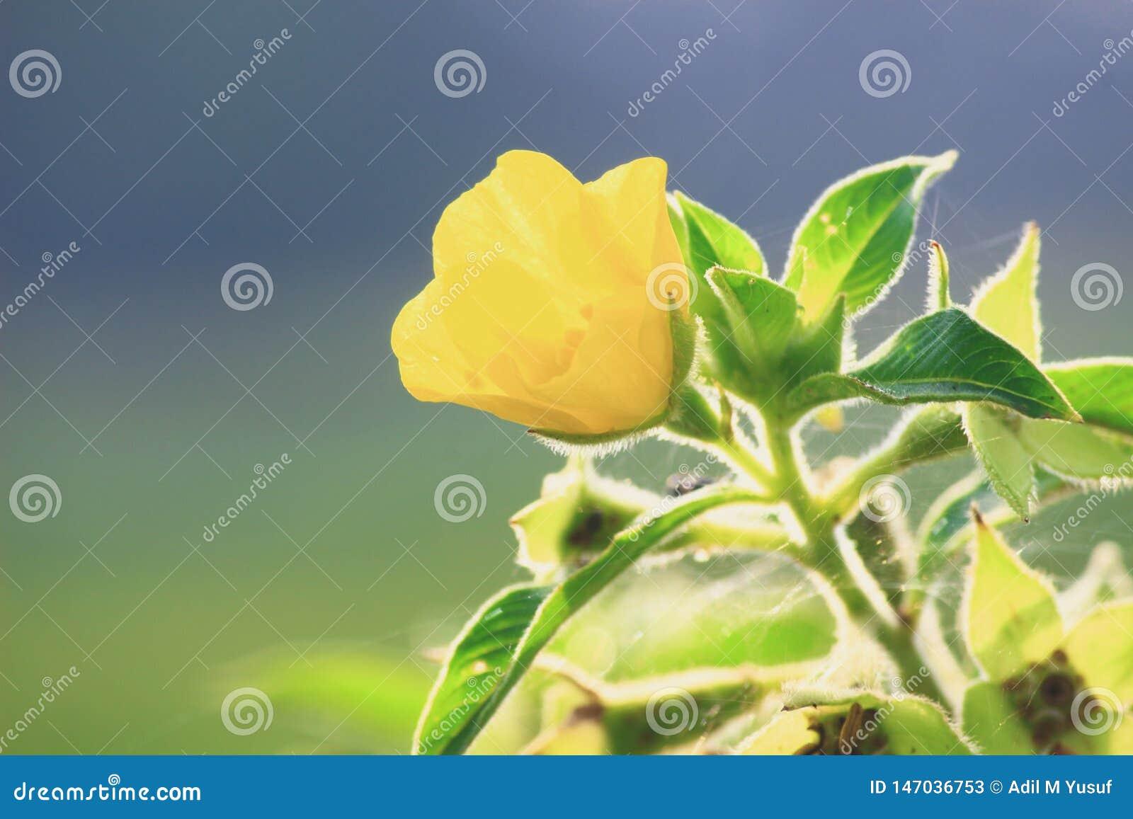 Miękki Żółty kwiat przy rankiem