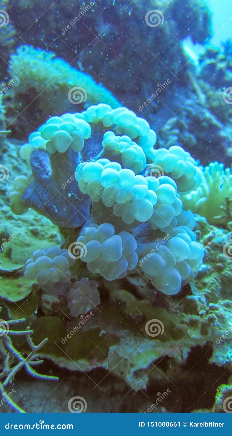 Miękki koral nieznacznie błękitny kolor anemonowy akwarium ?adny morze bra? dziki Zwarta przerastająca koralowa podstawa kolorowe