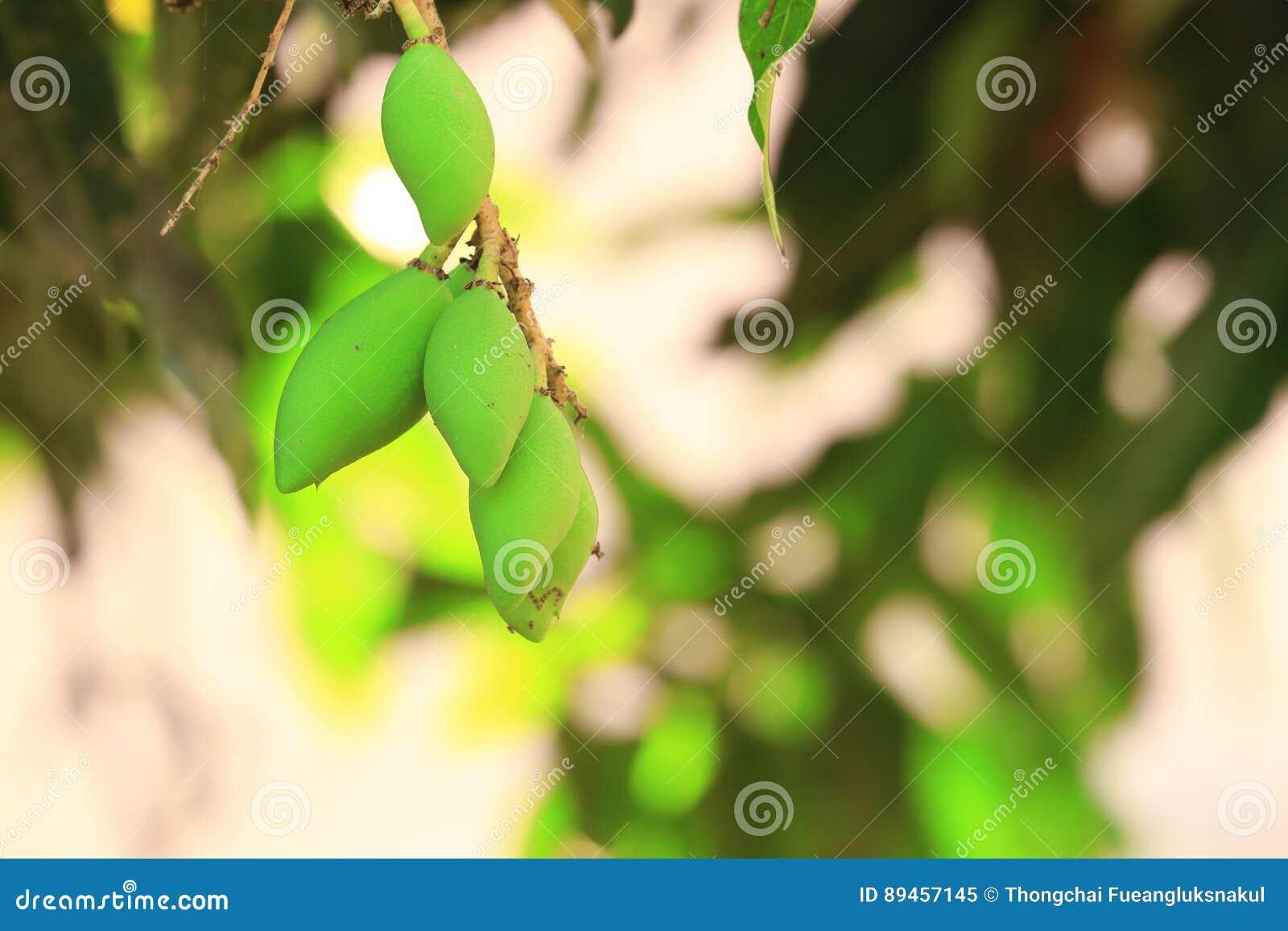 Miękki mango na drzewach jako natury tło,