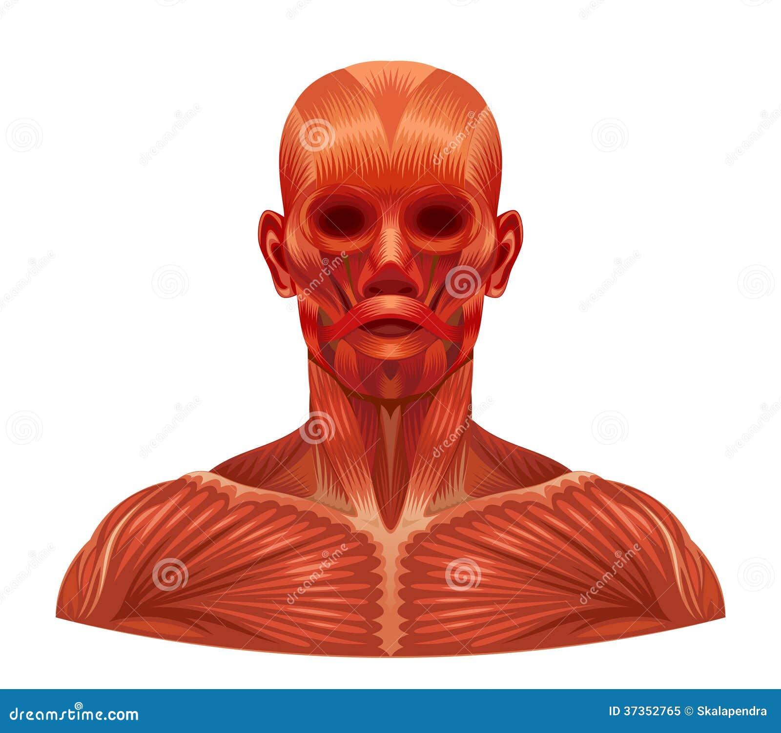 Mięsień twarz