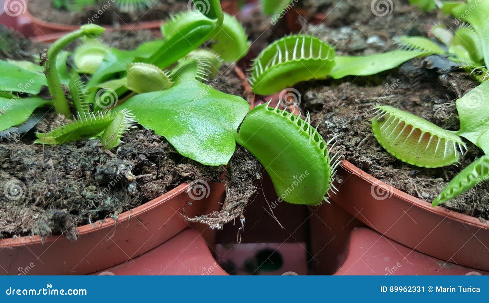 Mięsożerne rośliny w garnka Wenus komarnicy oklepu