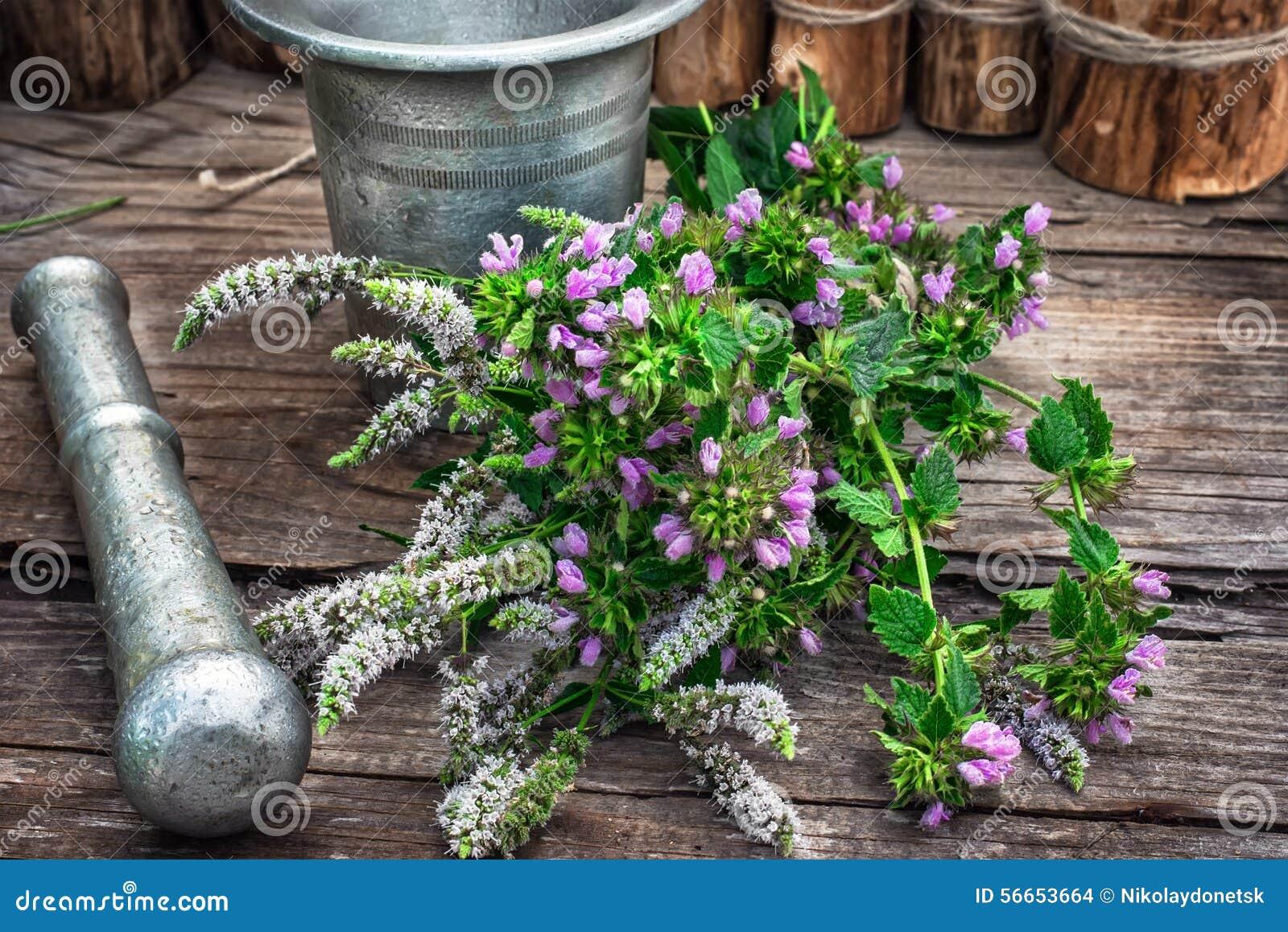 Miętówka jest odwiecznie zielnym rośliną