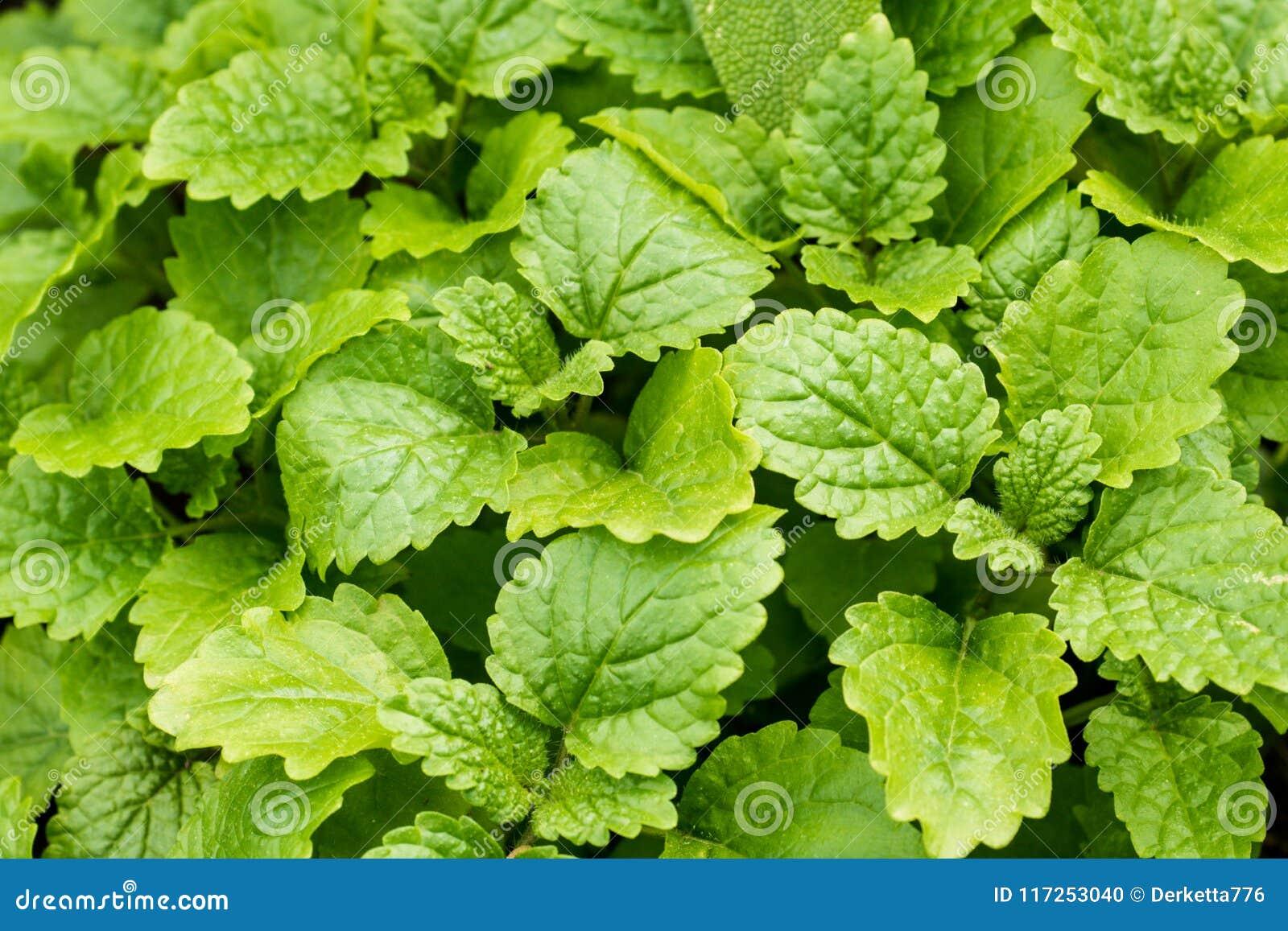 Miętówka liście w ogródzie Zielony tło z bliska
