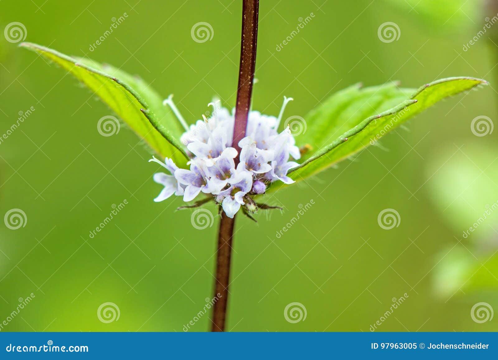 Miętówka, pennyroyal z kwiatem