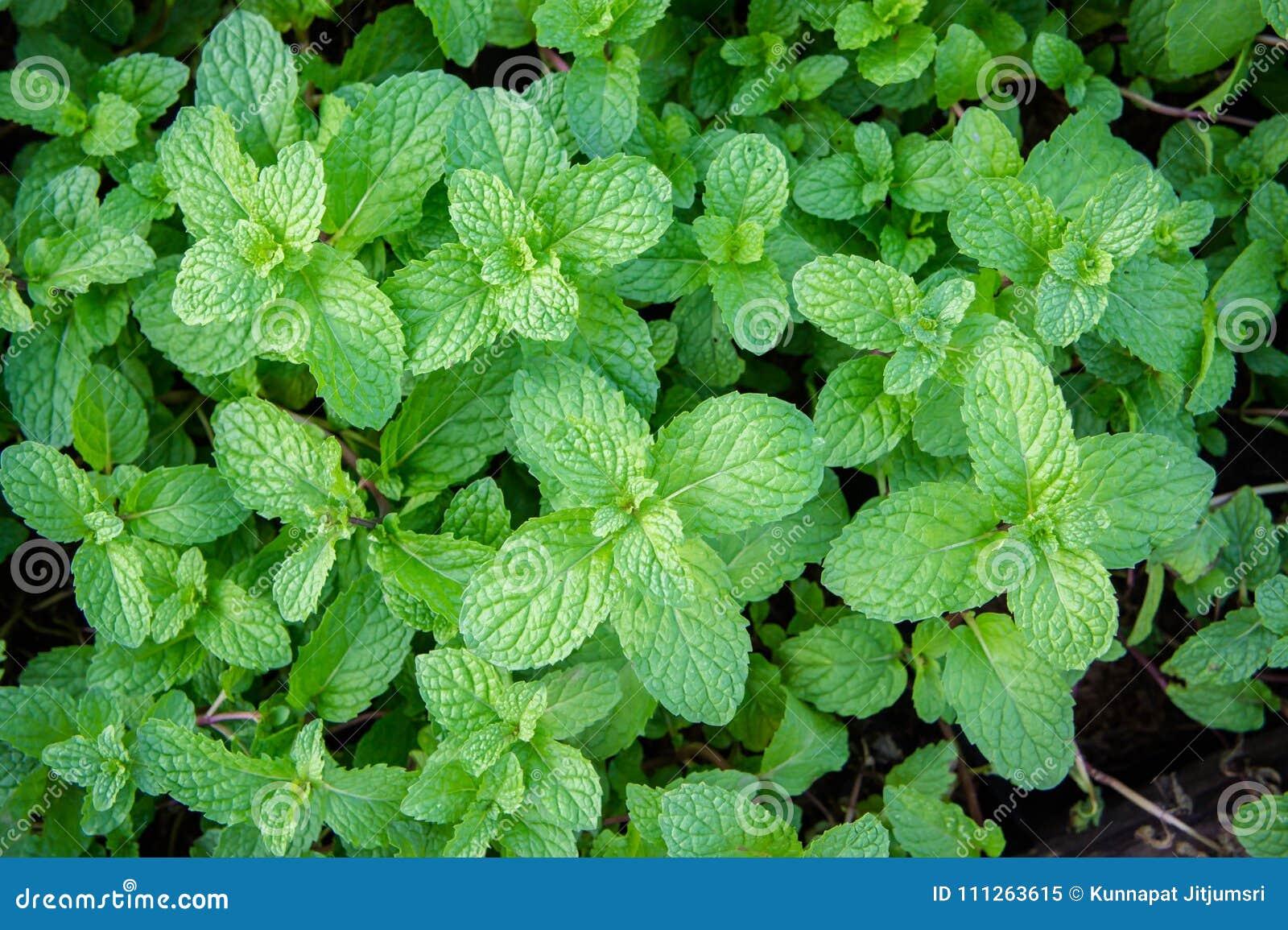 Miętowy ziele lub warzywa w ogródzie roślina jesteśmy pożytecznie