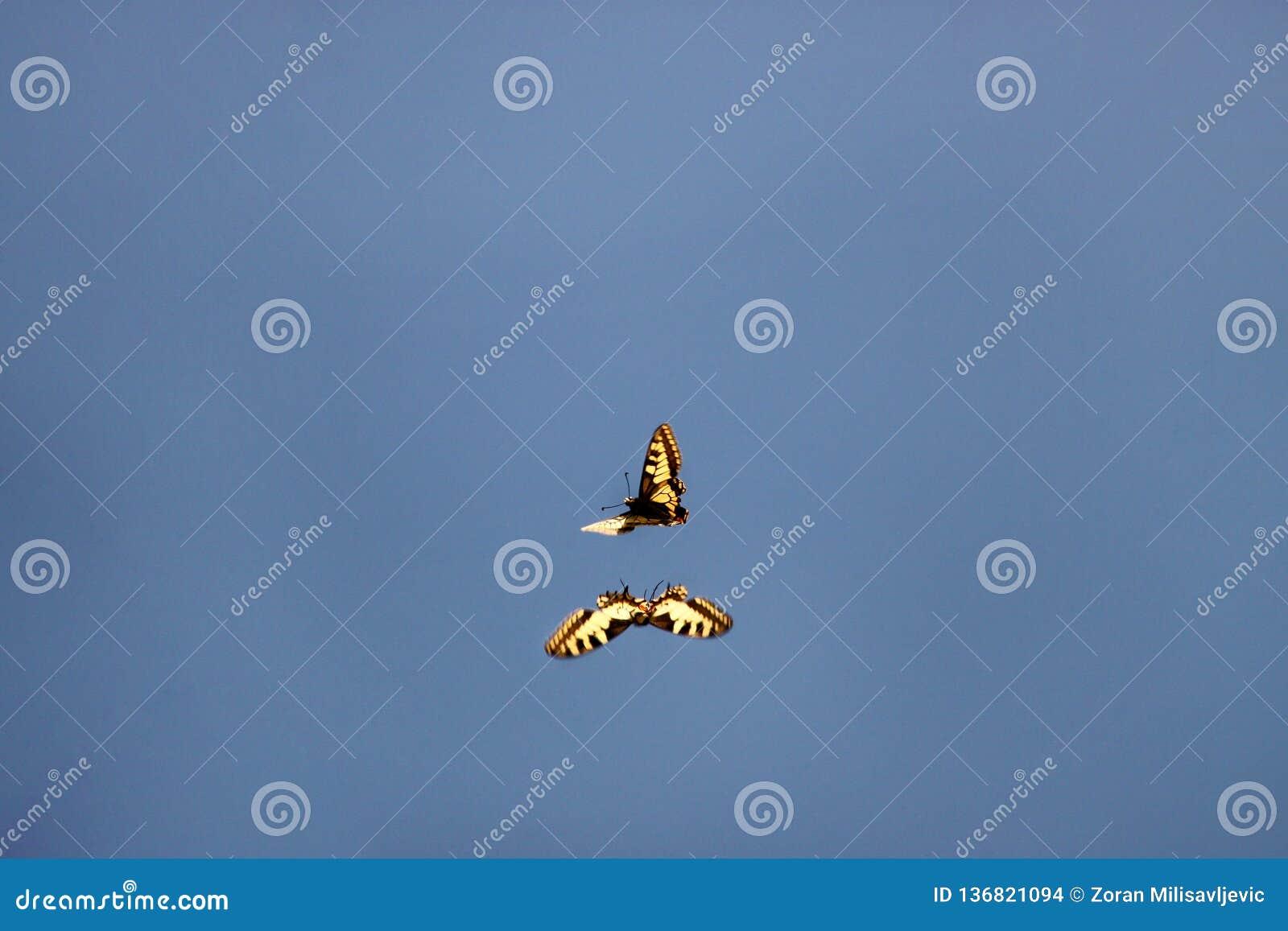 Miłości komarnica i gra motyl Para Wschodni tygrysi swallowtail motyle angażuje w koperczaki i kojarzyć w parę w połowie powietrz