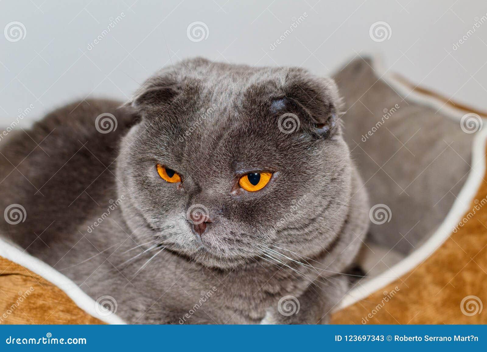 Mi animal doméstico cariñoso y adorable Un escocés del gato dobla Pelusi llamado gris y los ojos de la naranja