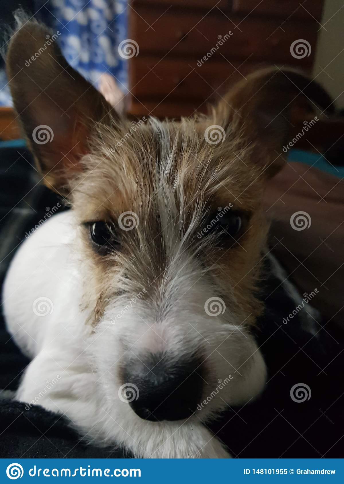 Mi Jack Russell Puppy Has Her Eye en mí