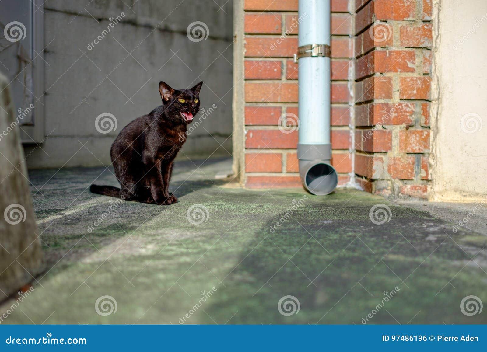 Miagolio del gatto nero della via a Naha