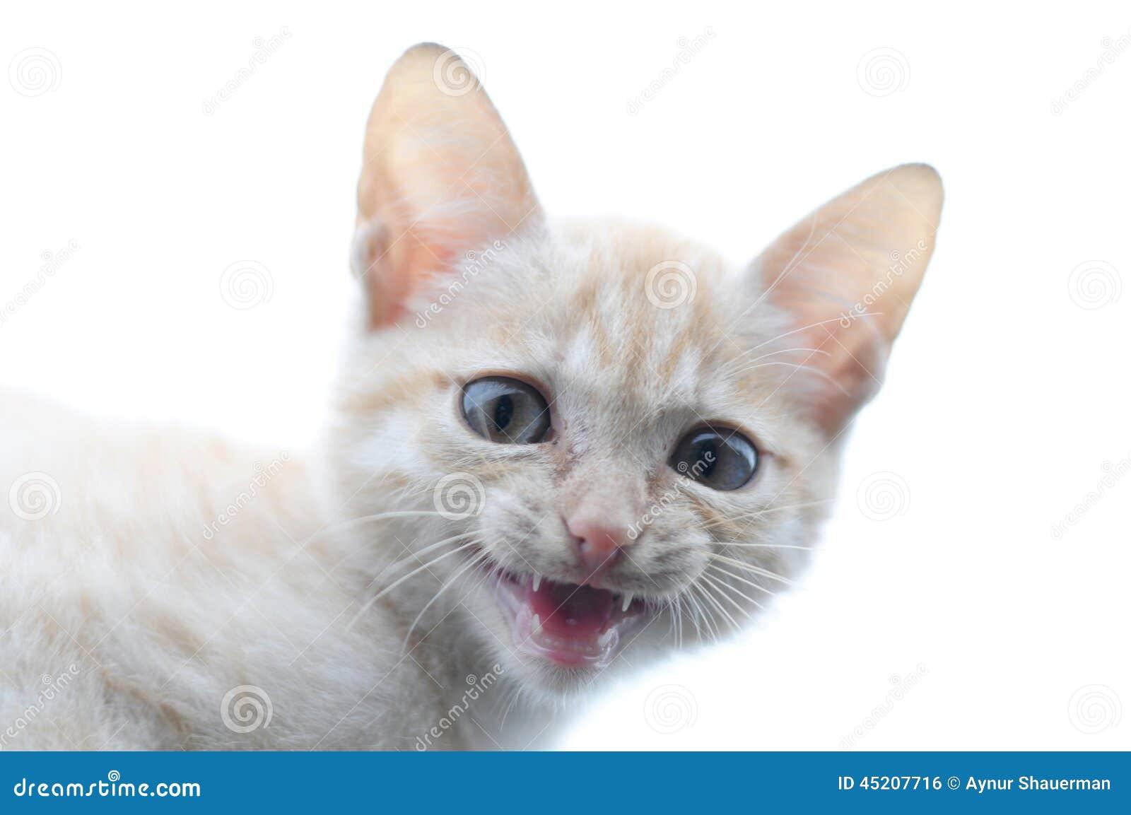Miauler prédateur de portrait de chat de gingembre