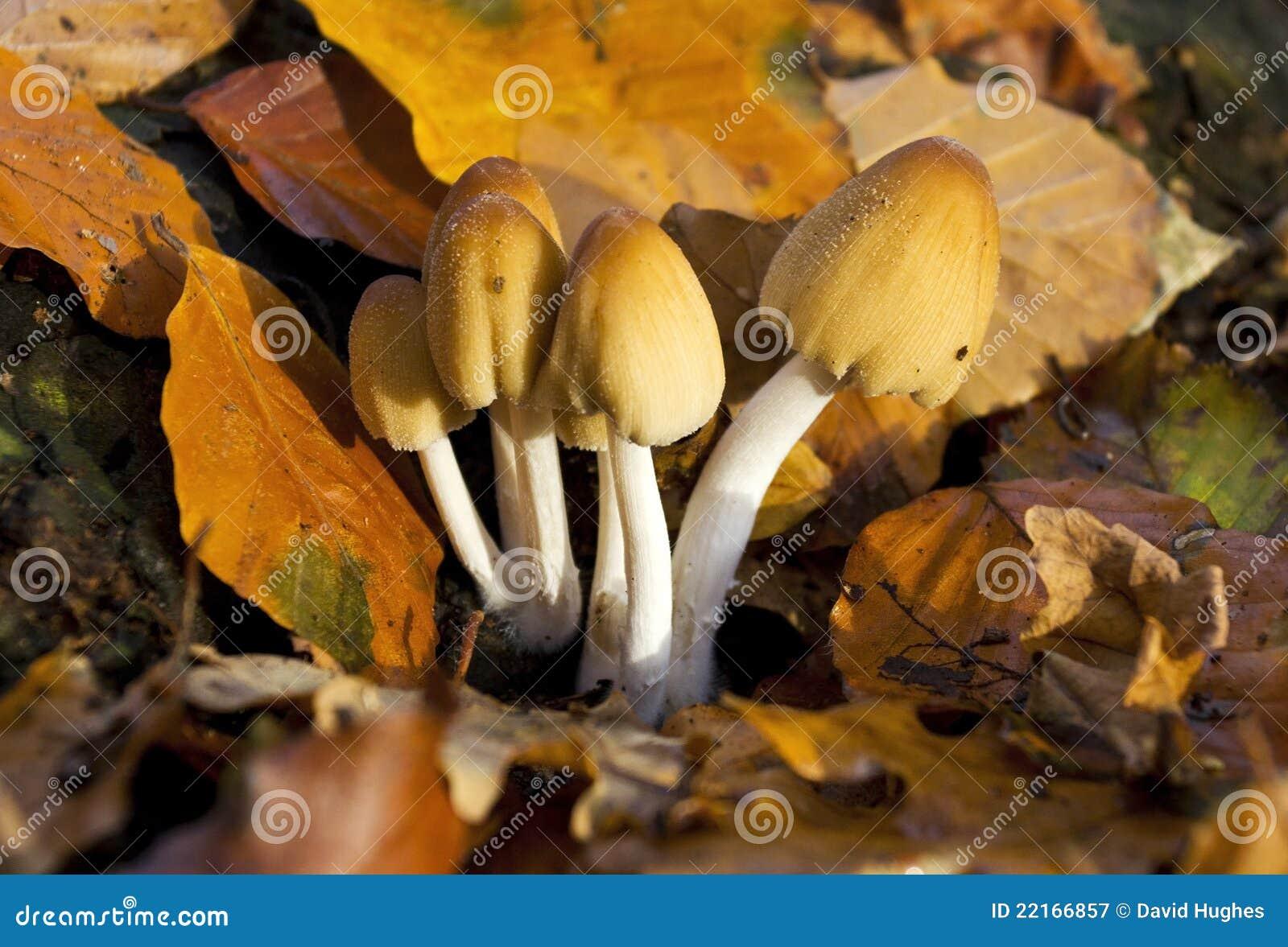 Micaceus för färgpulver för gemensam coprinus för lock svamp