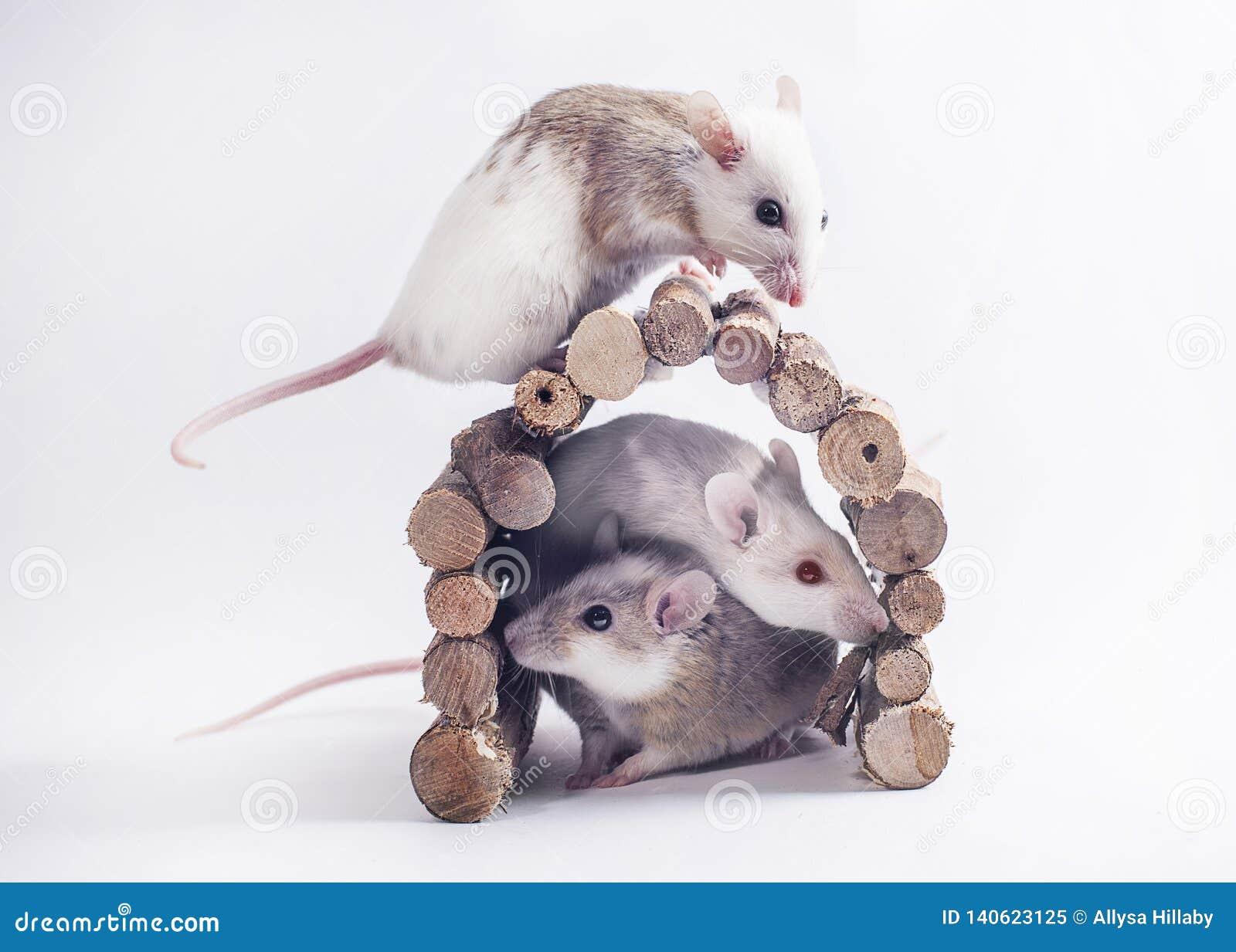 3 mice on white backdrop