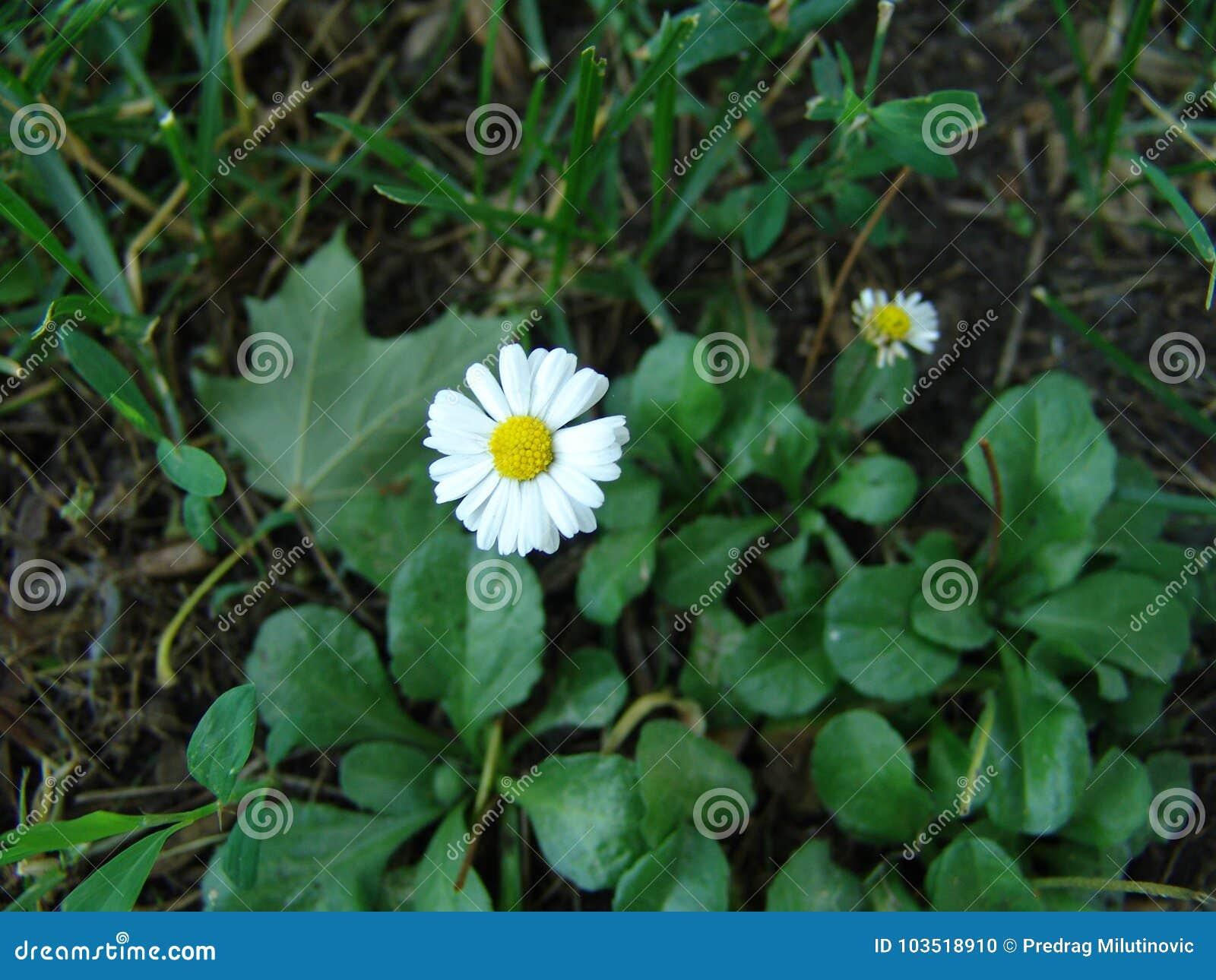 Michaelmas Daisy Stock Photo Image Of Ardea Beauty 103518910