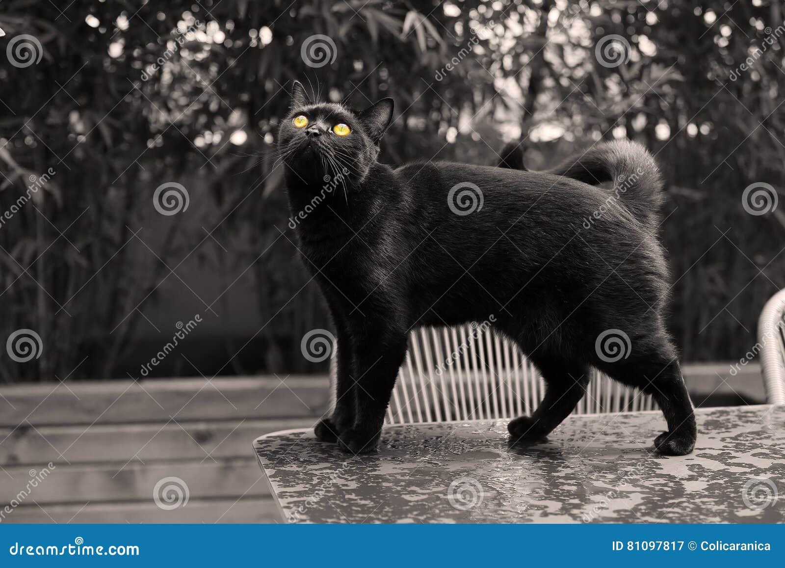 micio nero immagini