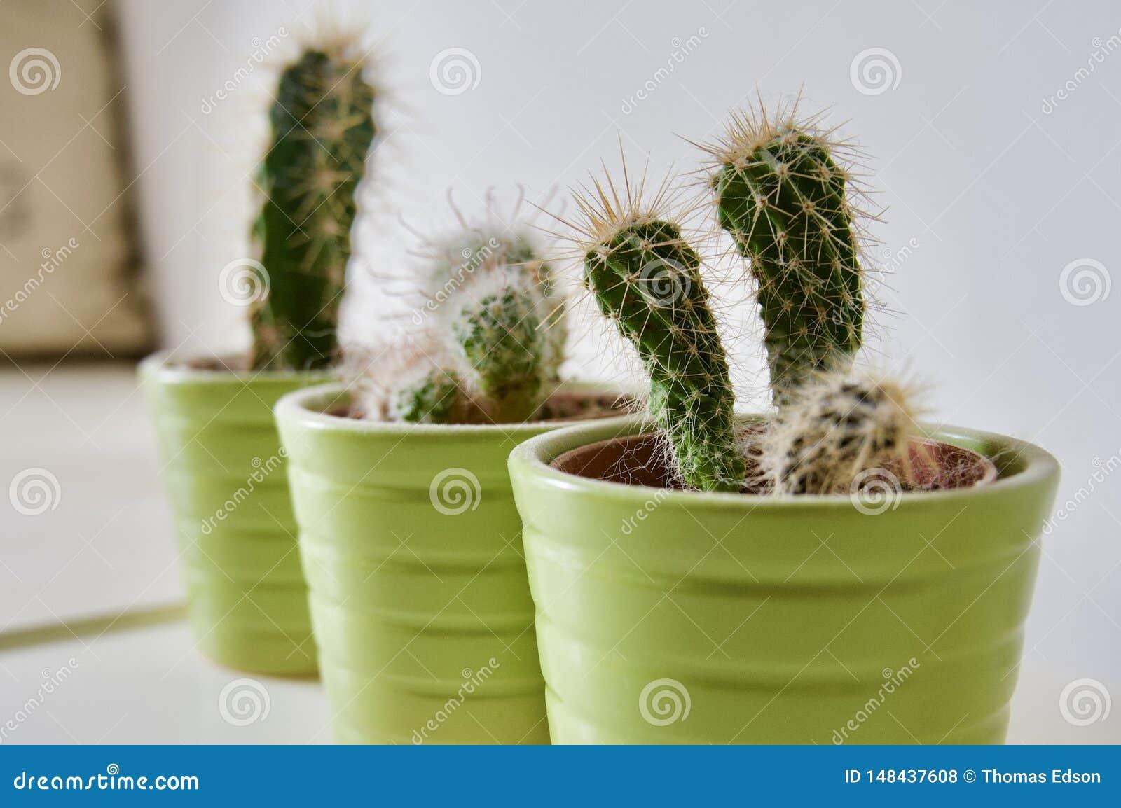 Micro Cactai conservato in vaso