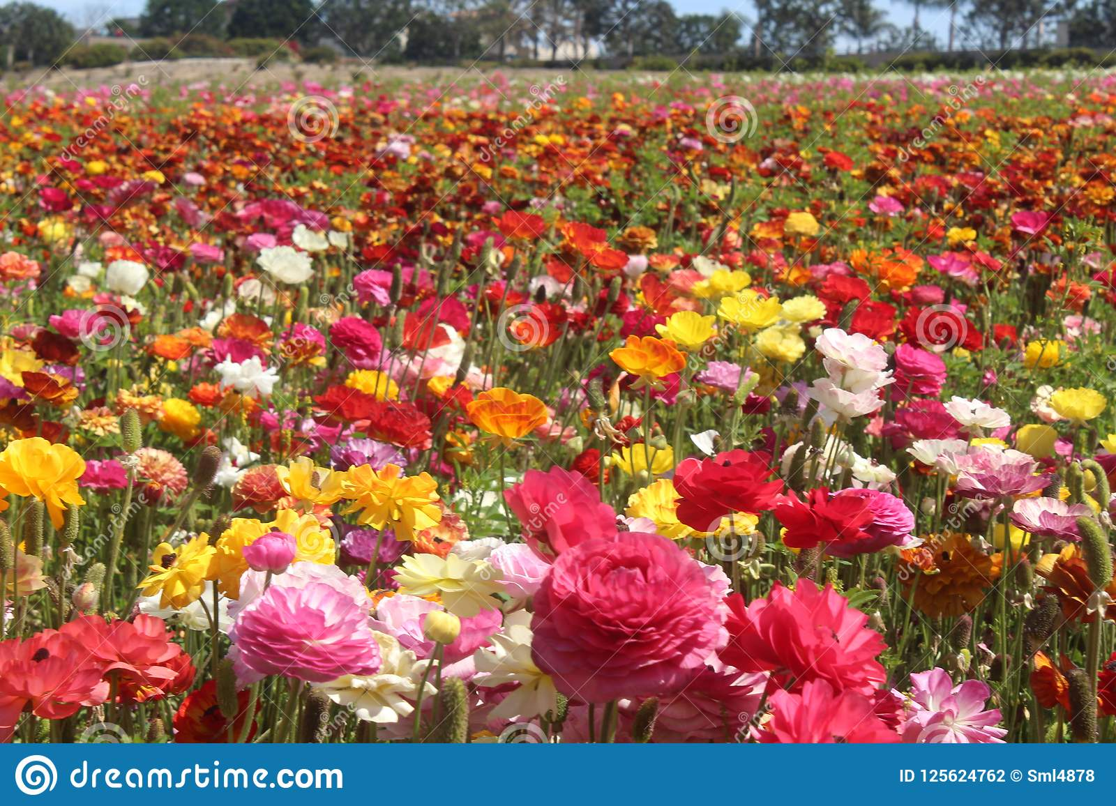 Micro Field Of Flowers Pink Flowers Red Flowers Fields Of Flowers