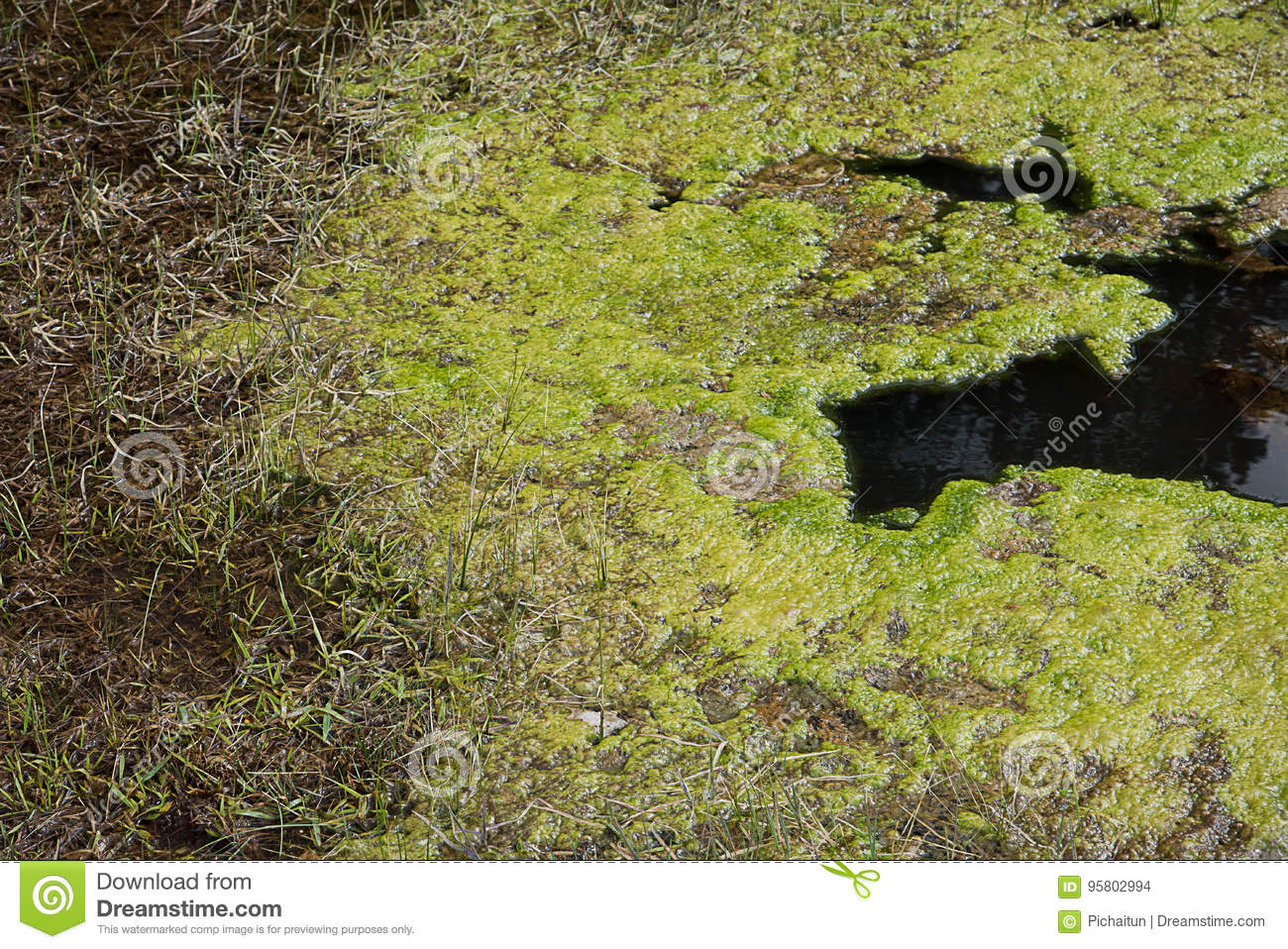 Microbial Mat Stock Photo Image Of Hydrothermal Grass 95802994