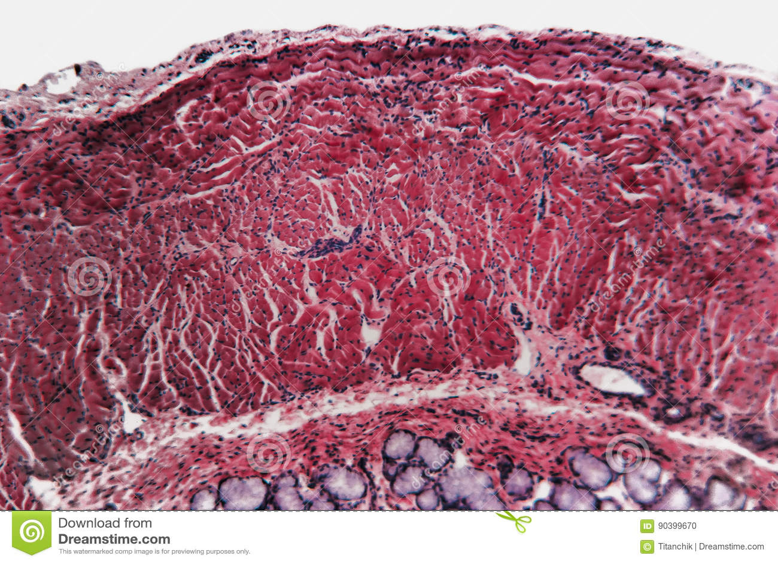 Microbiology cell- esophagus dog