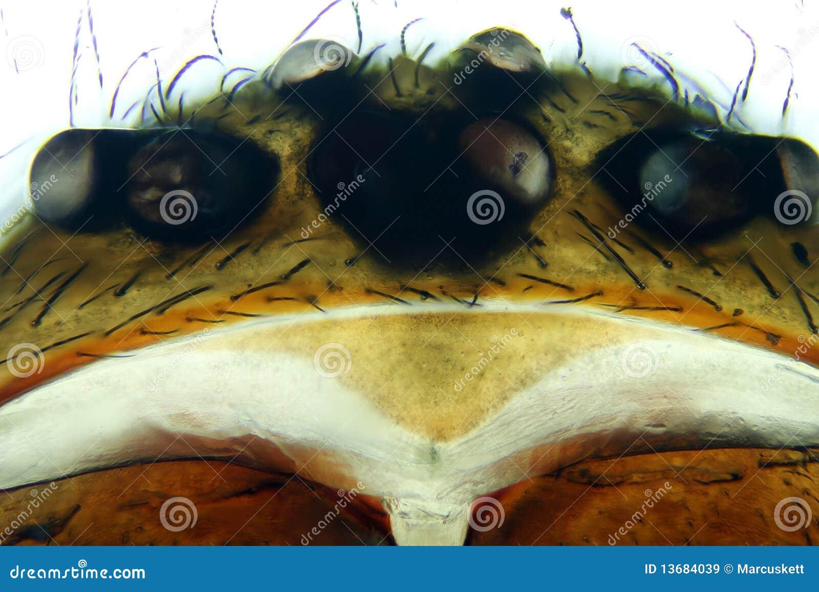 Micrografo del ragno dell aracnide