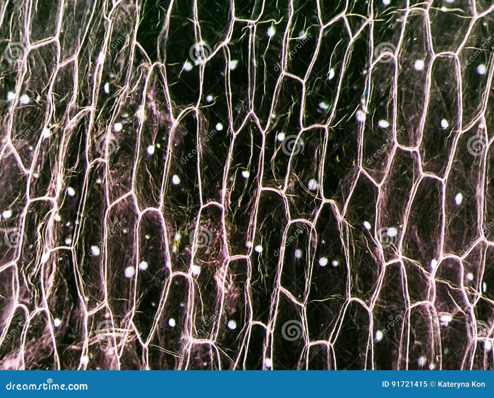 Micrograph Of Onion Epidermal Cells Stock Image