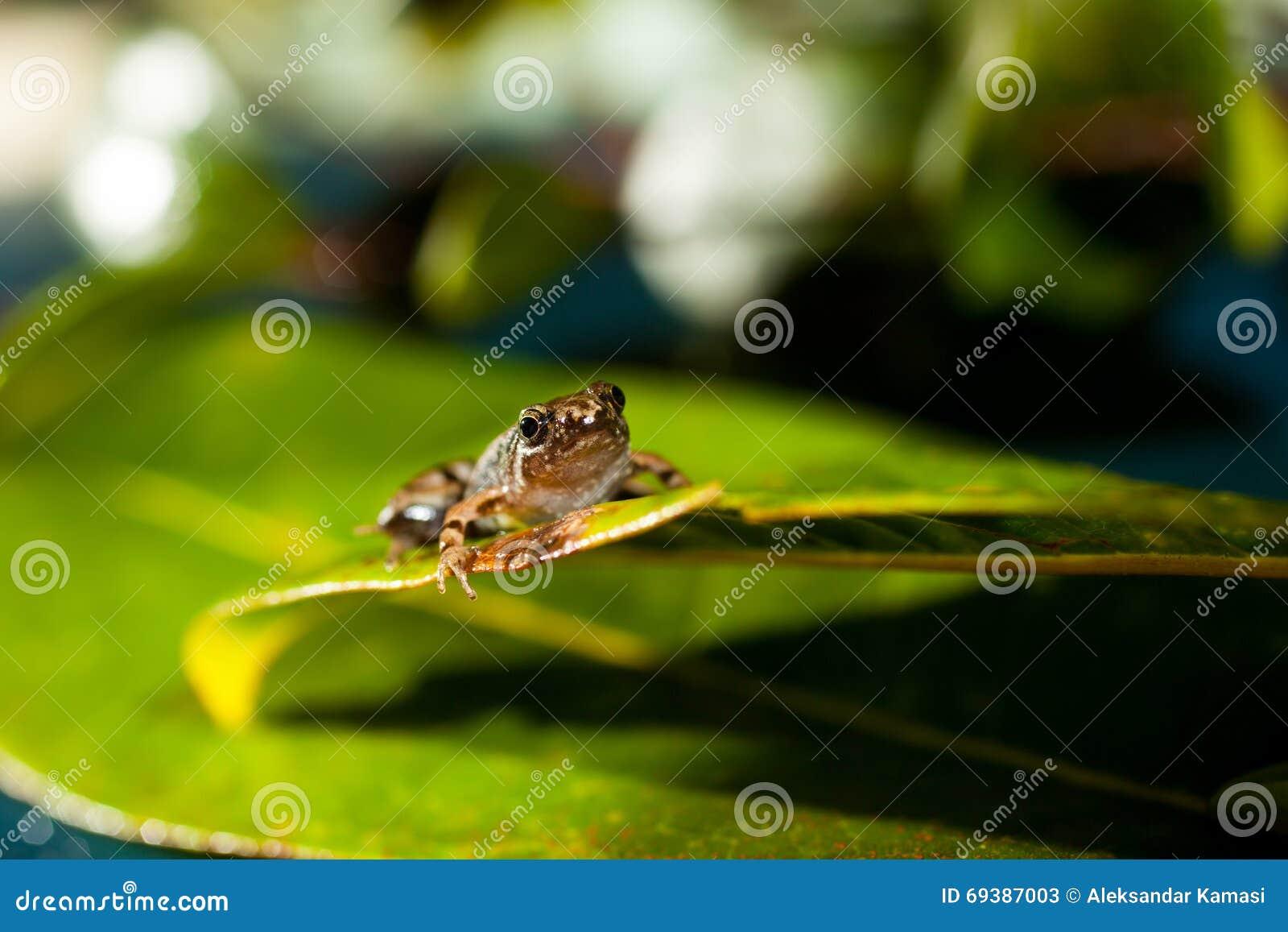 Microhyla achatina - Javan Chorus - Frog