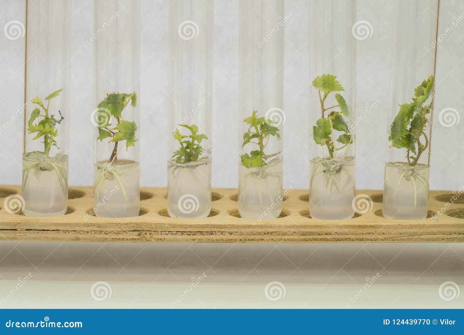 Micropropagation av druvaväxter