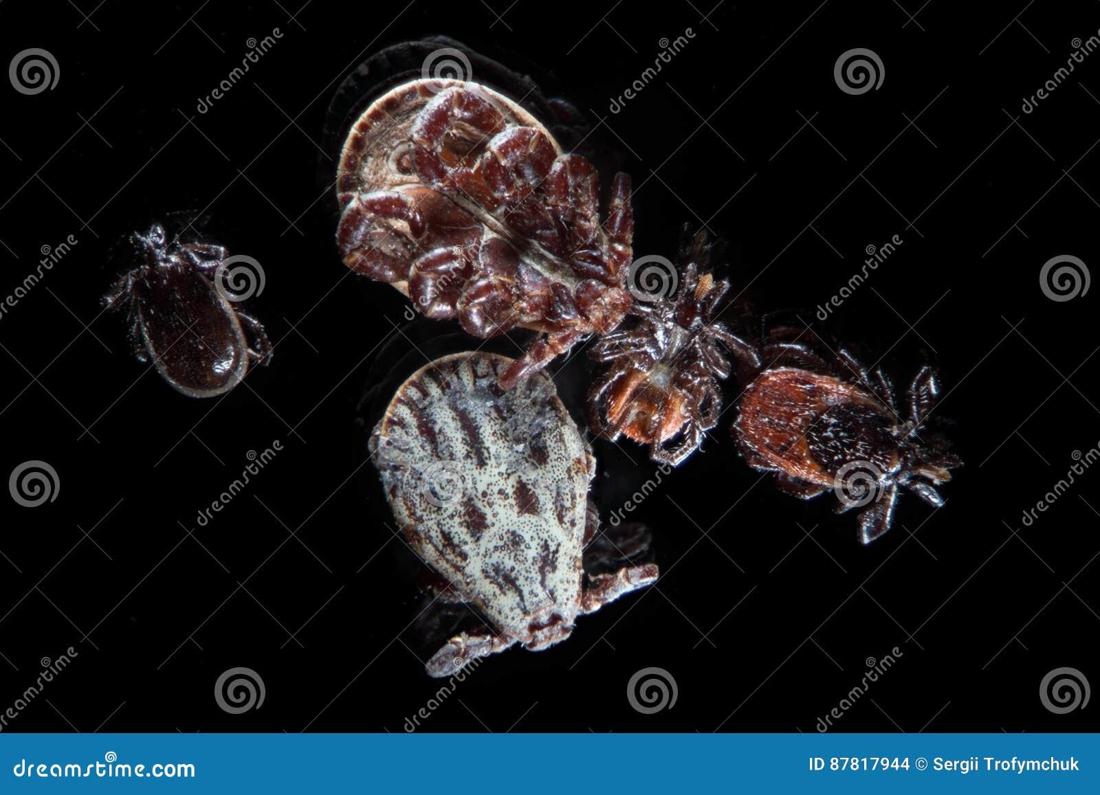 Microscopic parasites ticks, mites, Ixodes scapularis or deer tick or blacklegged tick, Dermacentor reticulatus or Ornate Cow Tick