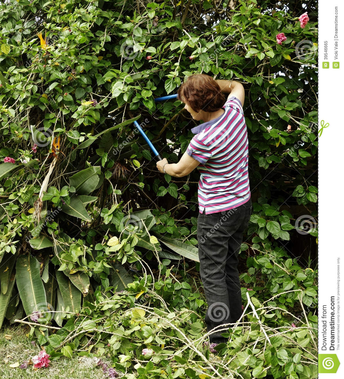 Middle Aged Woman Pruning Hibiscus Shrubs With Sec Stock Image