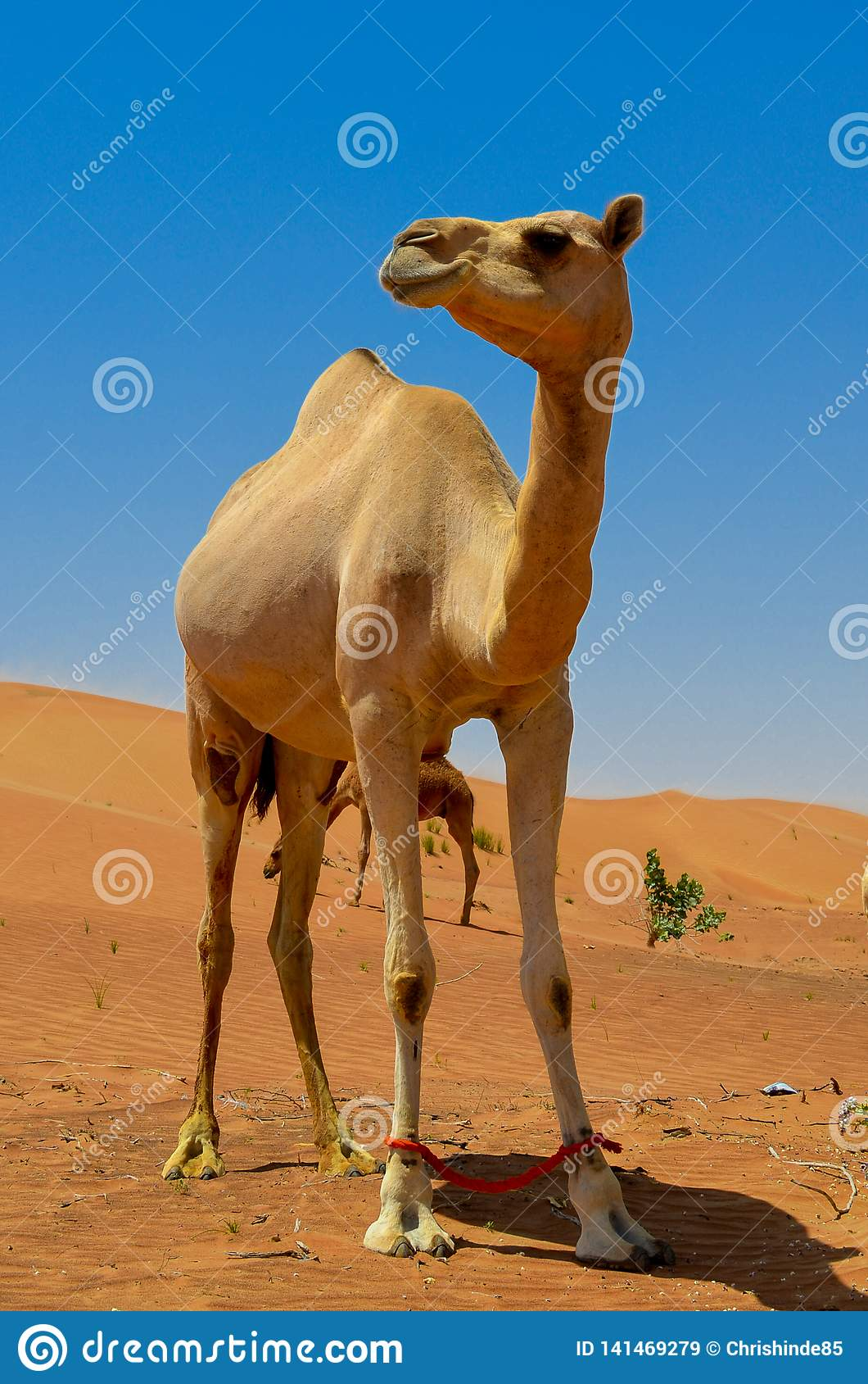 Middle East Camel