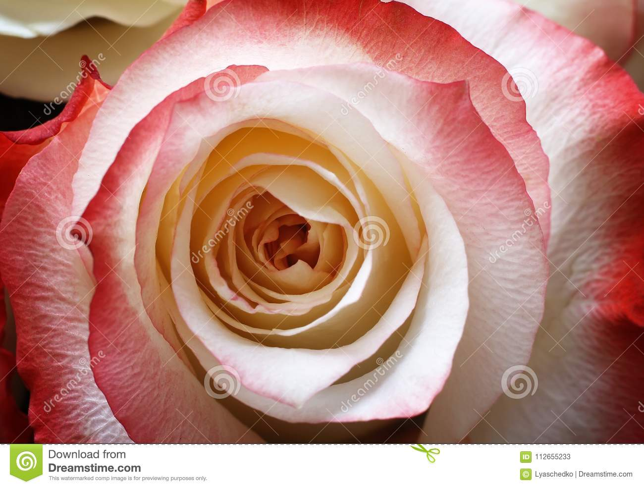 Middle Of The Flower A Beautiful Rose Closeup Stock Image Image
