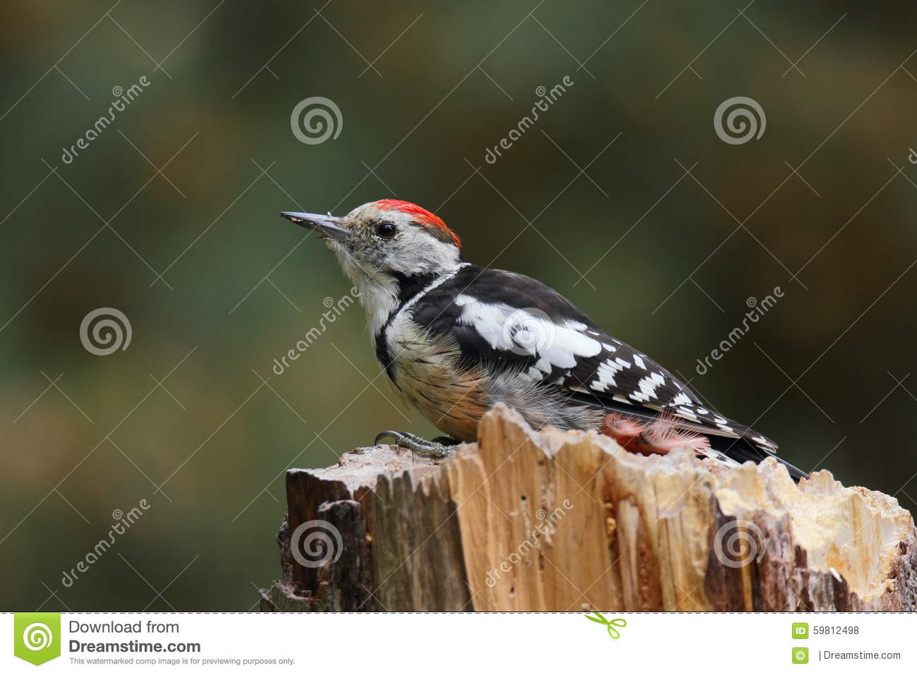 The middle spotted woodpecker (Dendrocopos medius) seating on a trunk