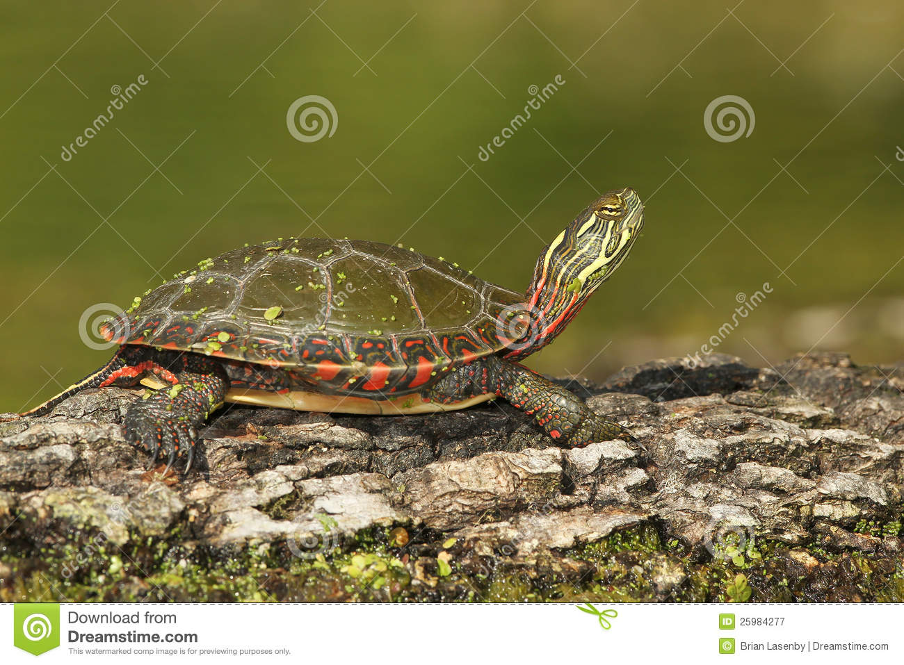 Download Midland Painted Turtle Basking On A Log Stock Image - Image of shell, bark: 25984277