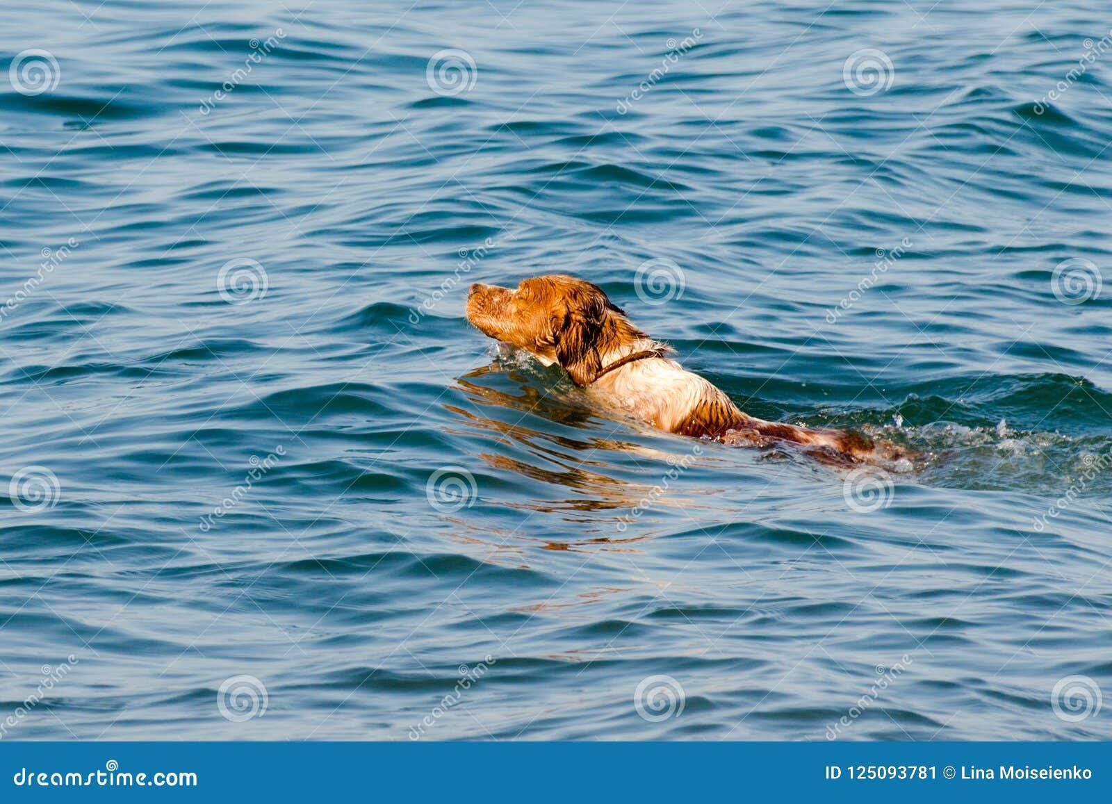 Miedzianowłosy pies pływa w wodzie morskiej