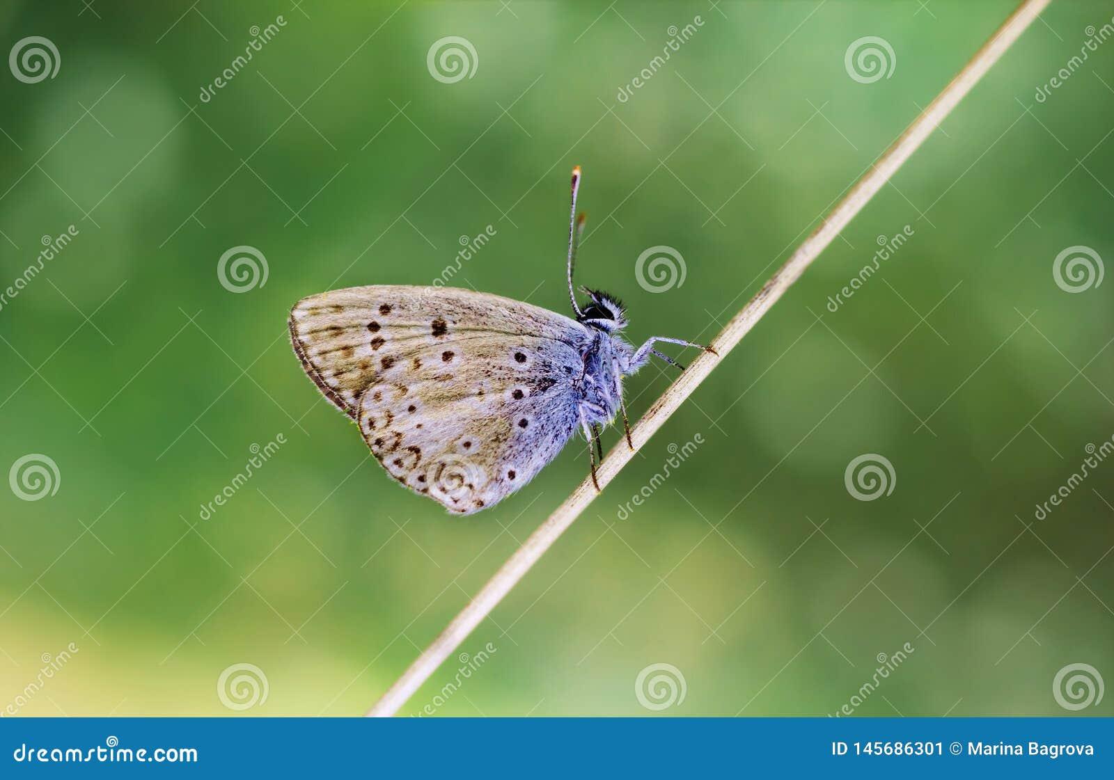 Miedziany motyli obsiadanie na suchym trzonie na zielonym zamazanym tle Na pogodnym letnim dniu du?y kropli zieleni li?? makro- f