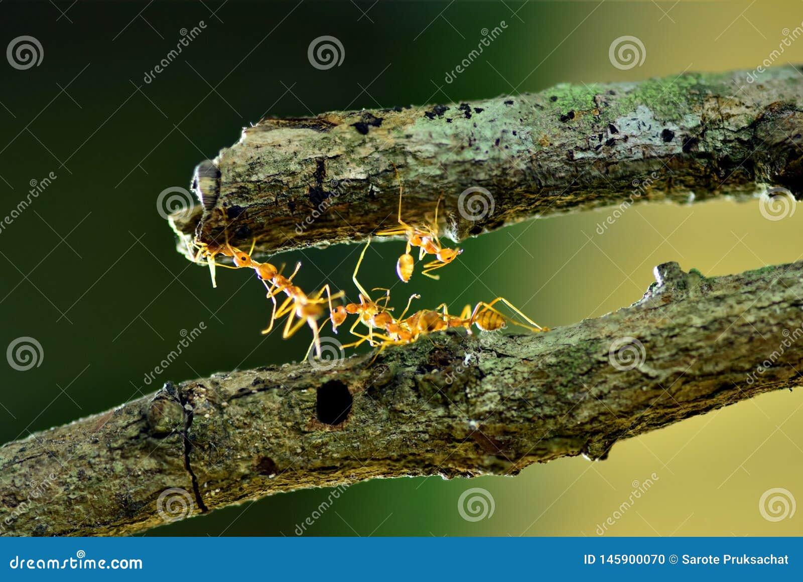 Mieren die brug, Groepswerk construeren