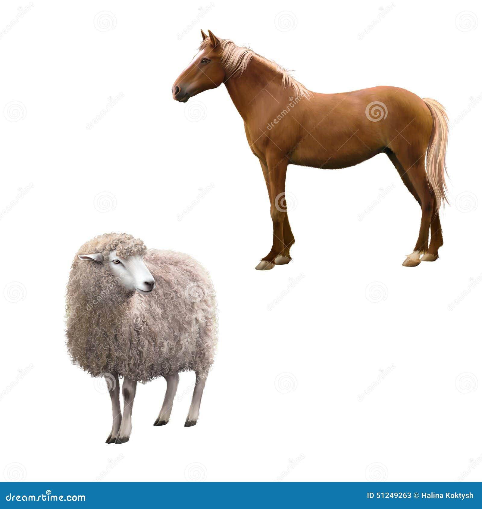 Mieszanego trakenu końska pozycja, Frontowy widok cakiel