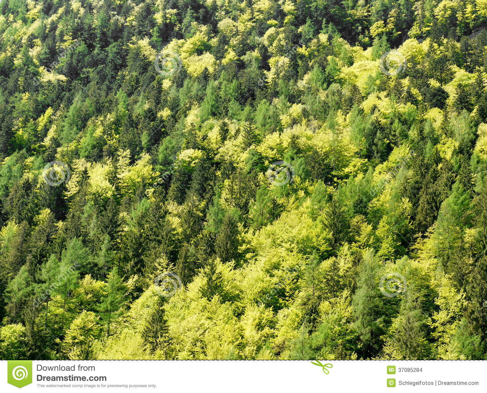 Download Mieszani Lasowego Drzewa Wierzchołki Zdjęcie Stock - Obraz złożonej z drzewo, greenbacks: 37085284
