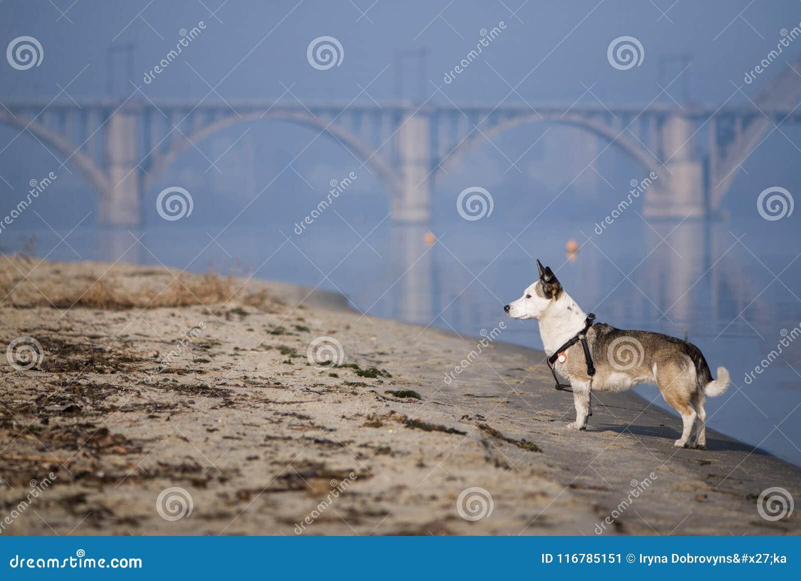 Mieszany trakenu pies na rzecznej piaskowatej plaży
