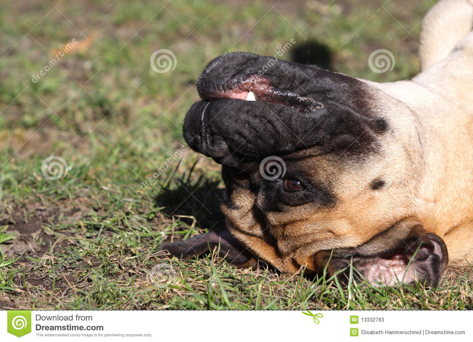 śmieszna bullmastiff kobieta