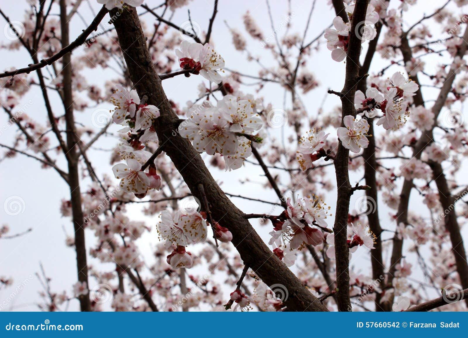 Migdałowego drzewa okwitnięcia