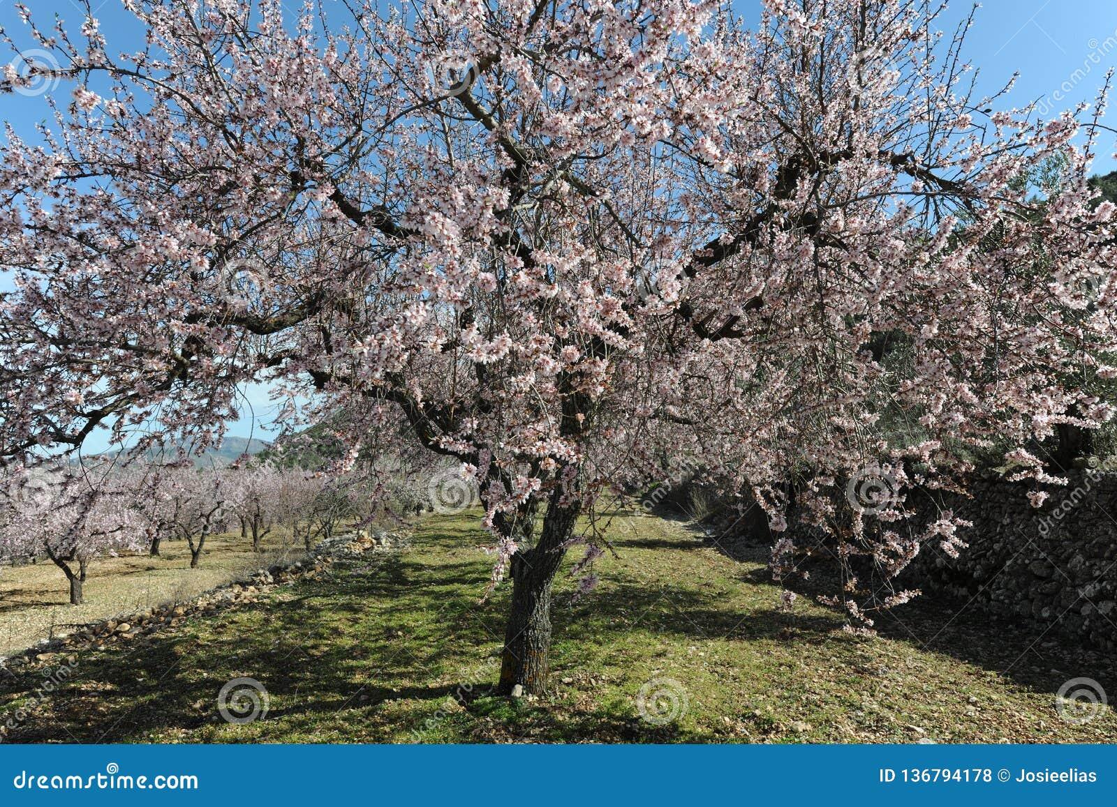 Migdałowy drzewo zakrywający w pięknych perfumowych menchiach kwitnie