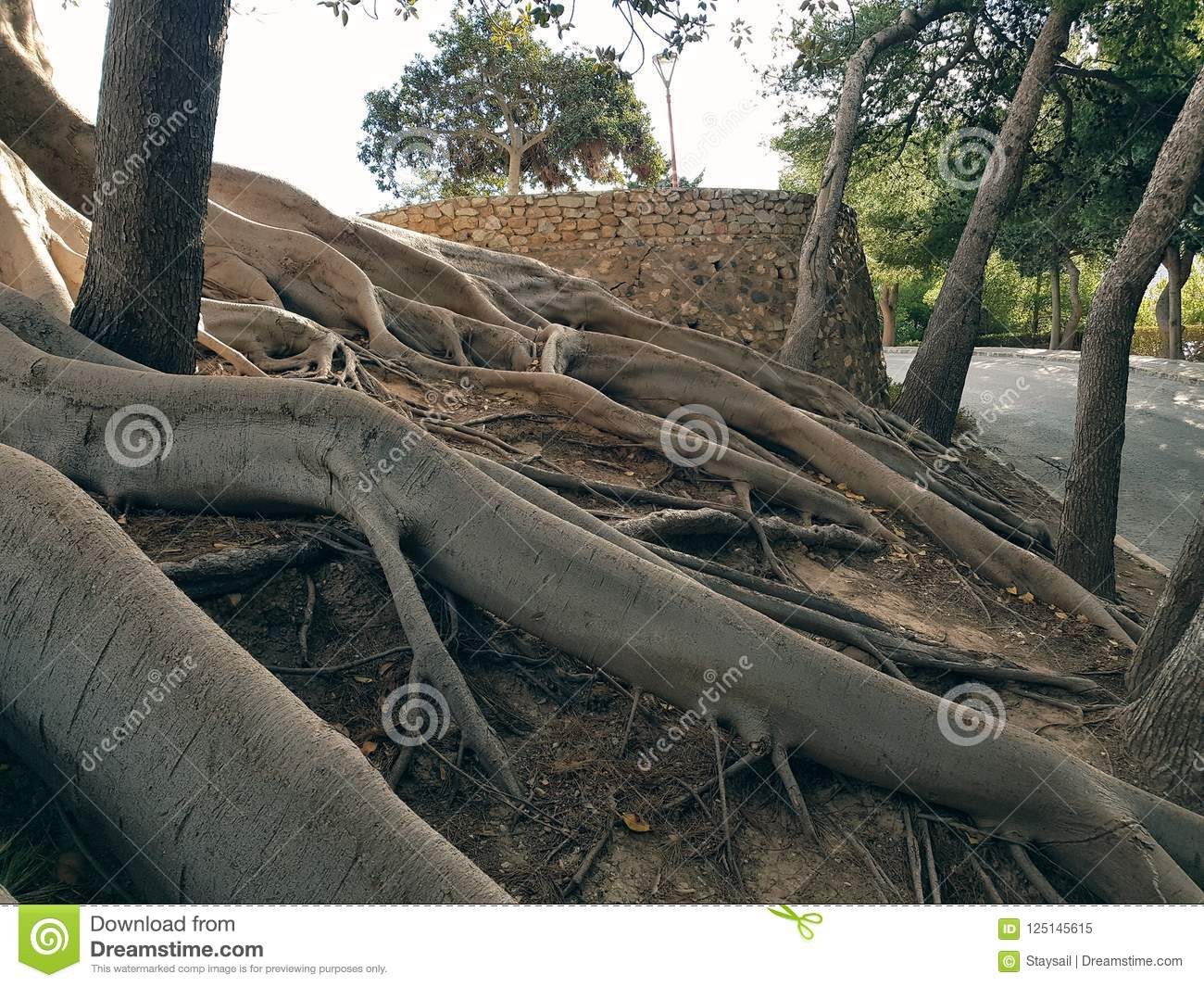 The mighty roots of the tree entangle the slope of the hill
